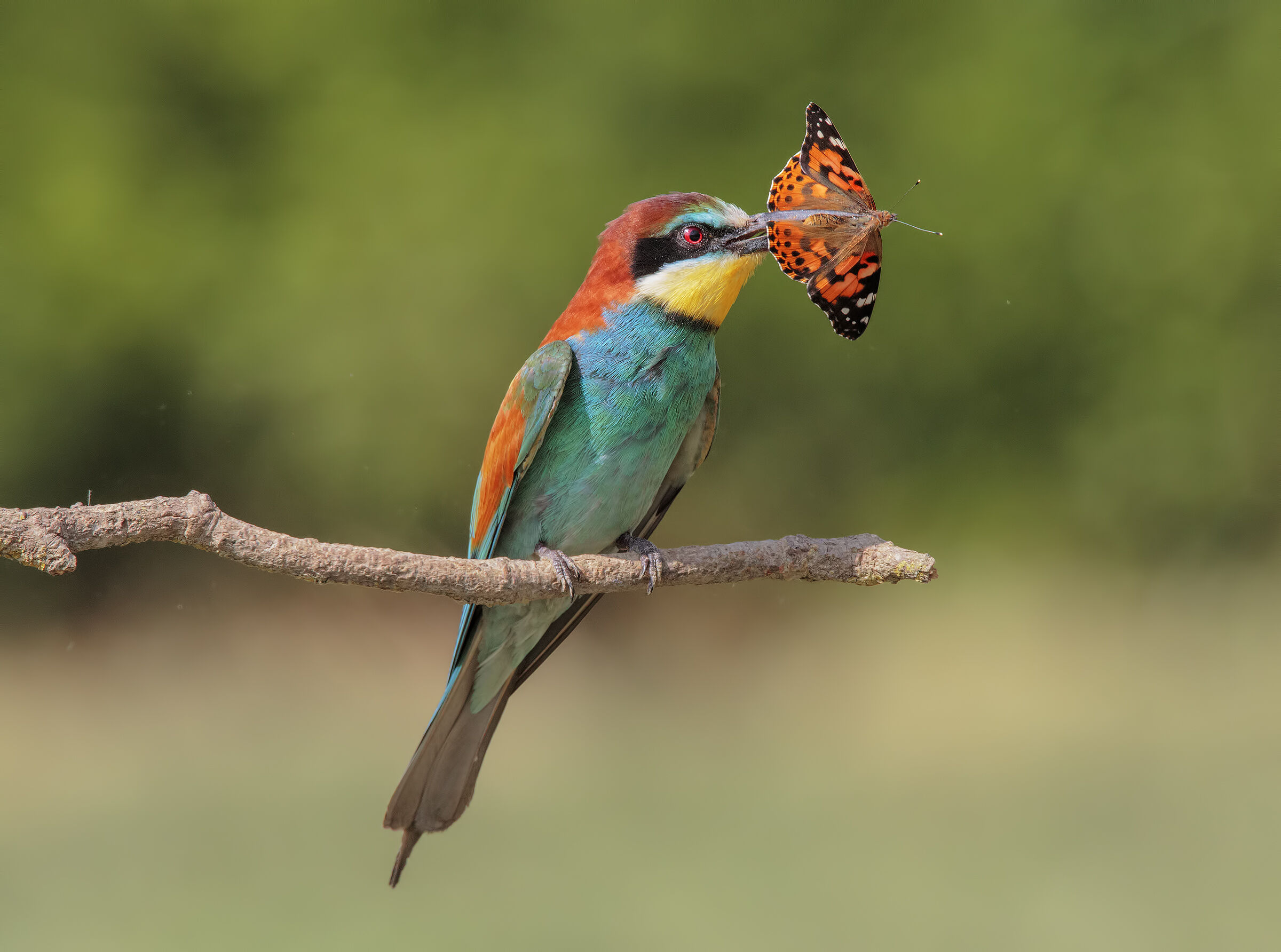 The Bee-eater and the Vanessa...