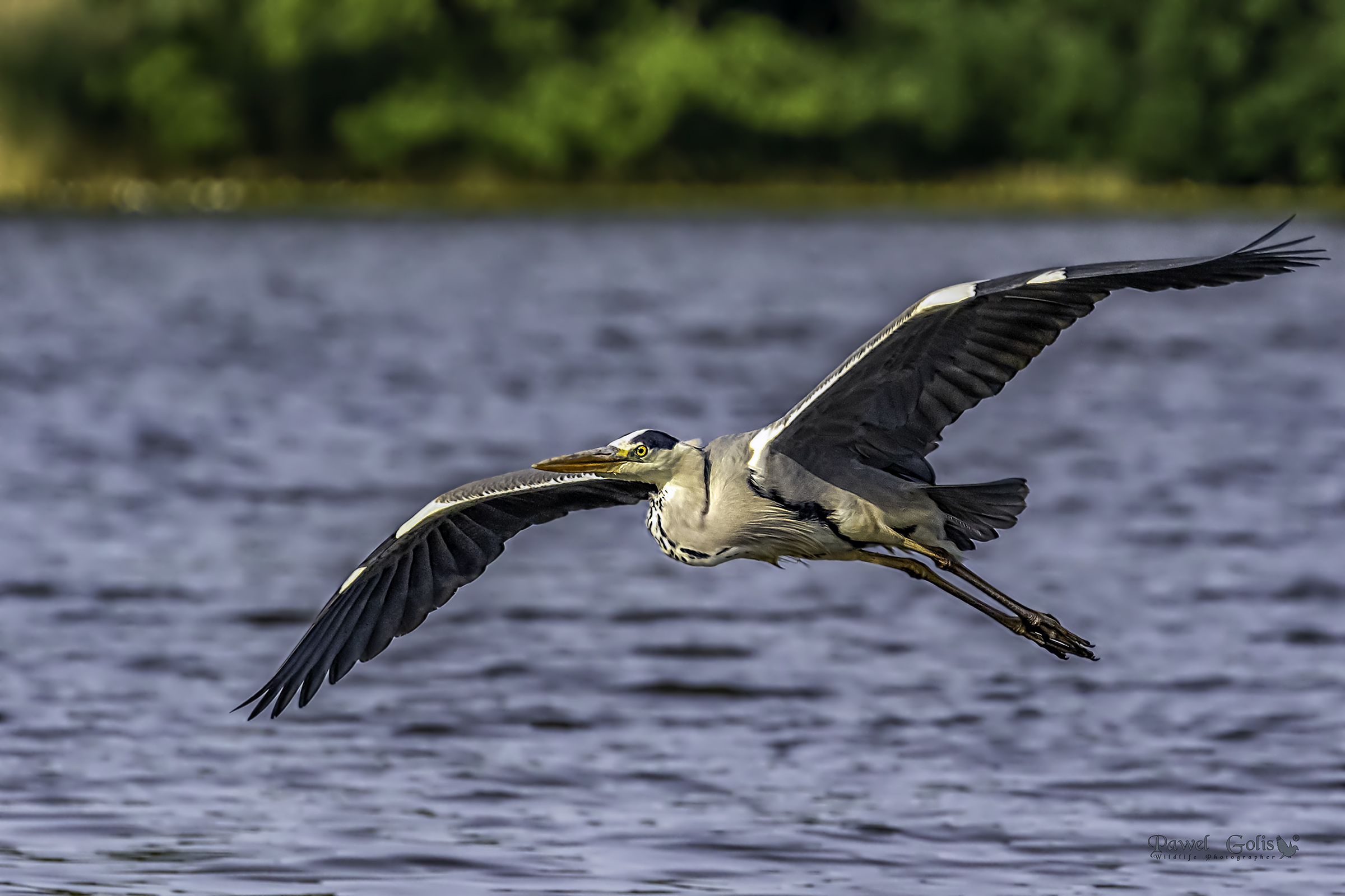 Grey heron (Ardea cinerea) in Fly...