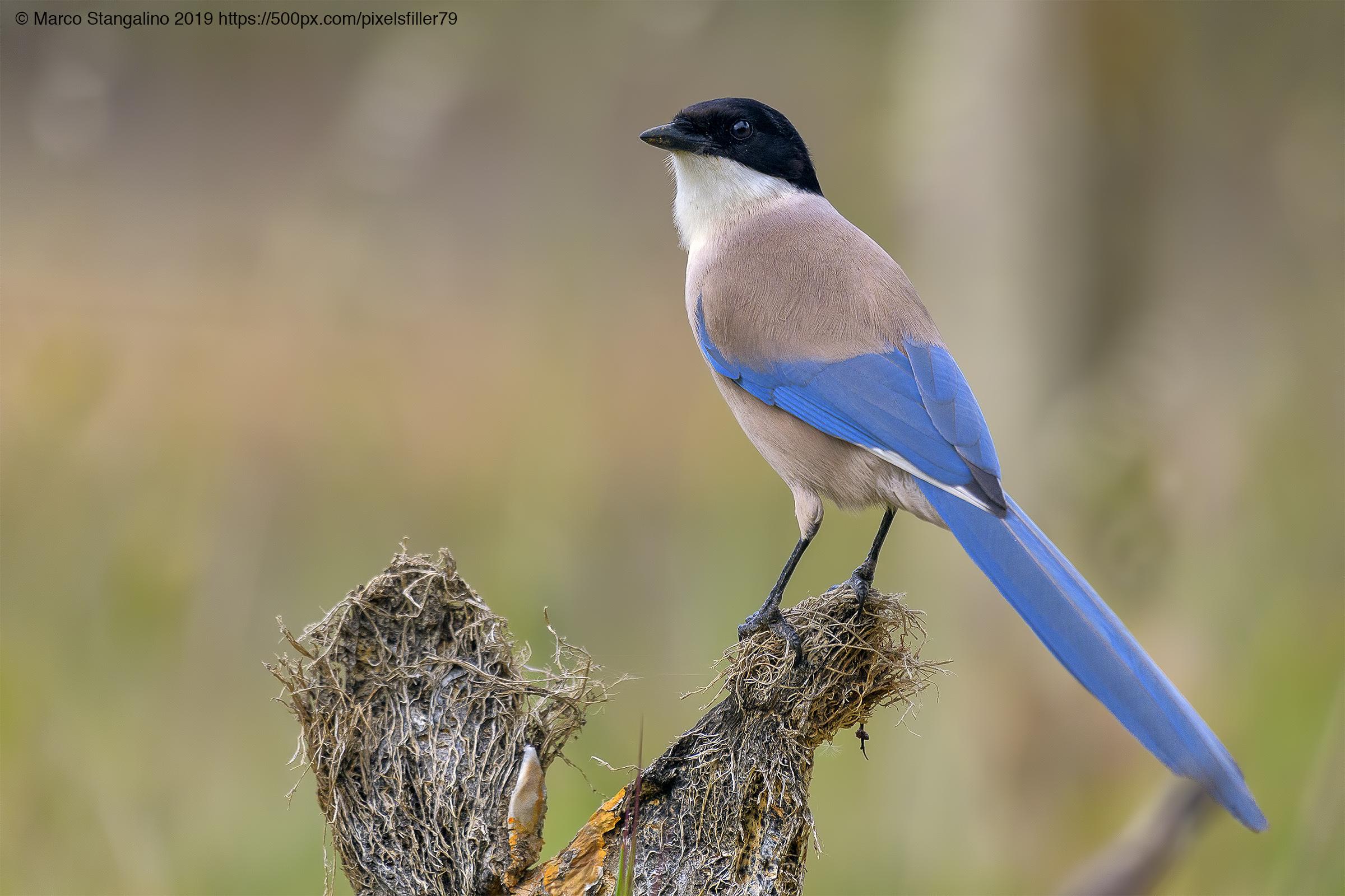 Light Blue Magpie......