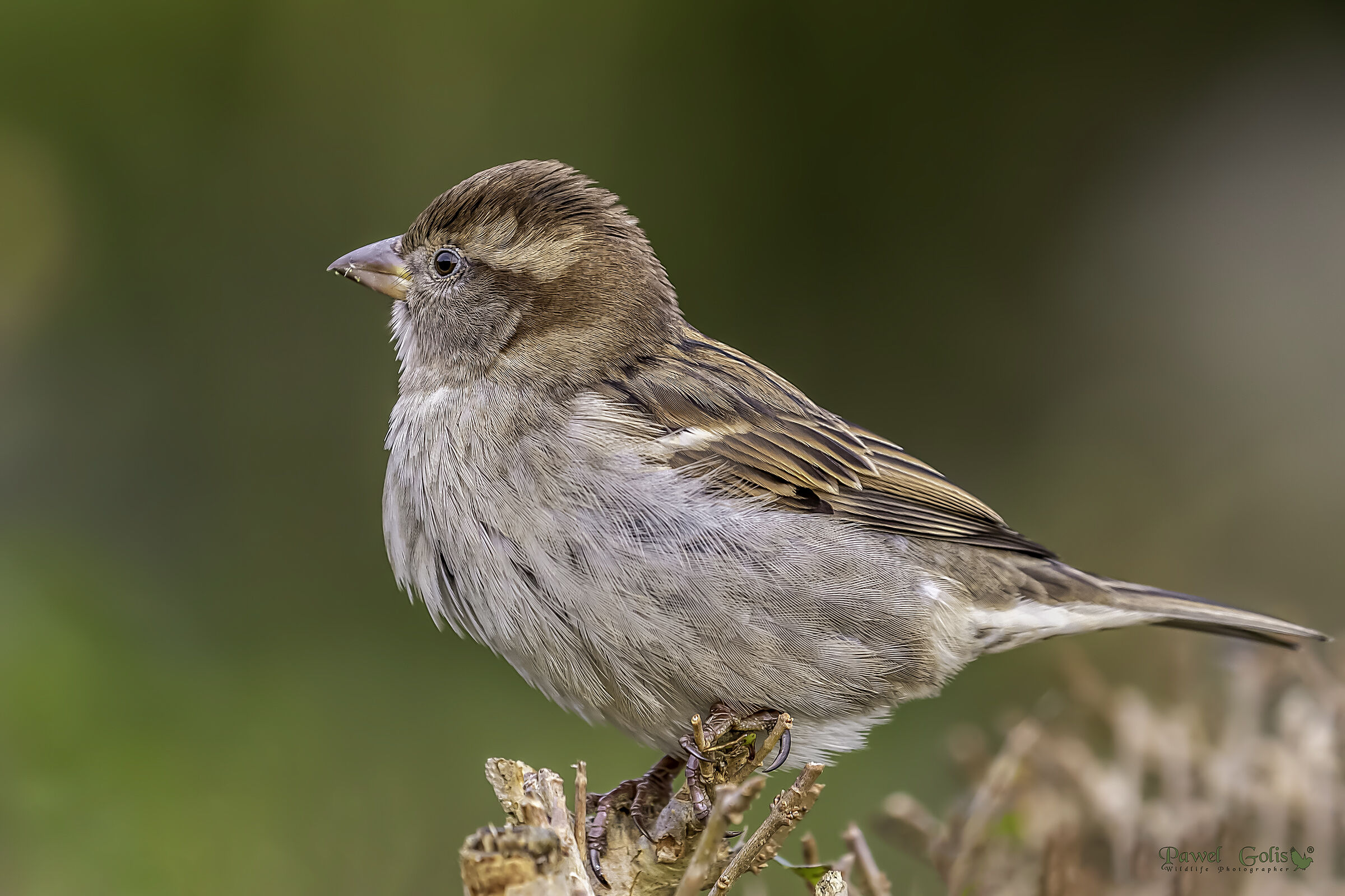 House sparrow (Passer domesticus)...
