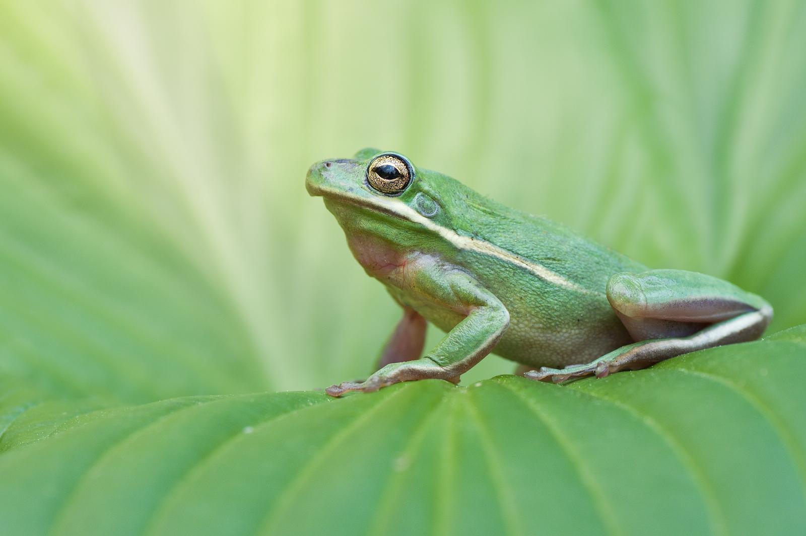 European tree frog on green leaf...
