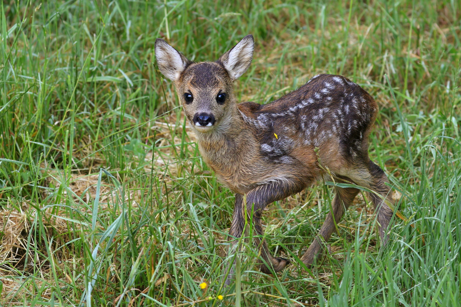 Young roe Deer...