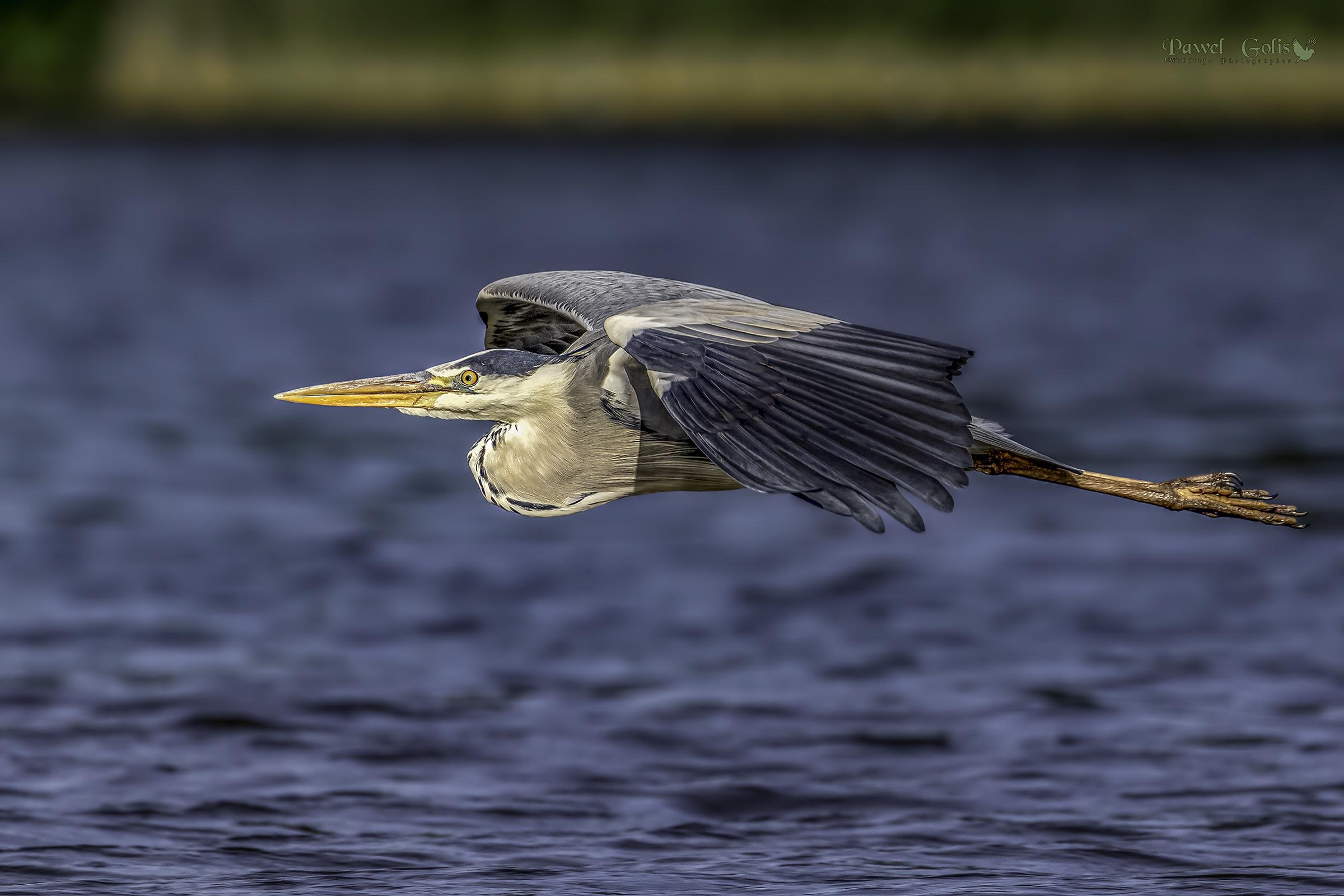 Grey heron (Ardea cinerea) in Fly...