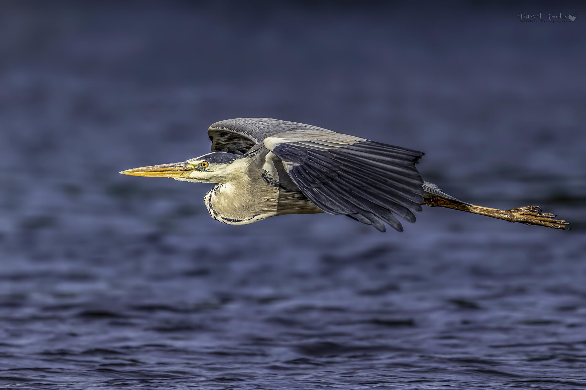Grey heron (Ardea cinerea) in Fly v2...