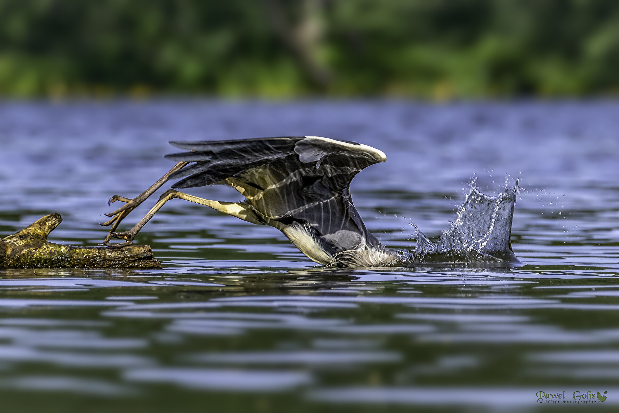 What can there be on the other side ...? Grey heron (Ar...