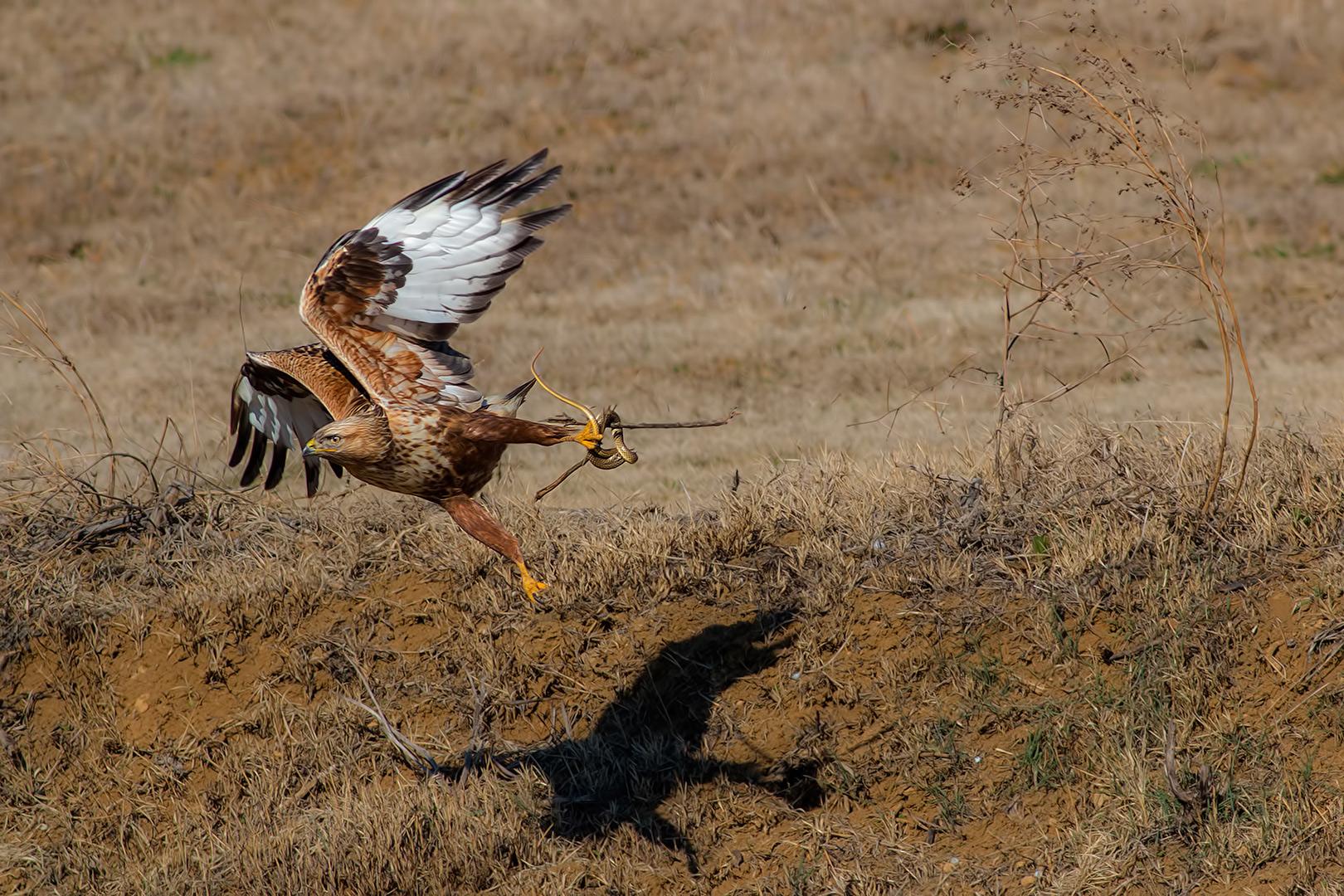 Long-legged Buzzard (Buteo rufinus)...