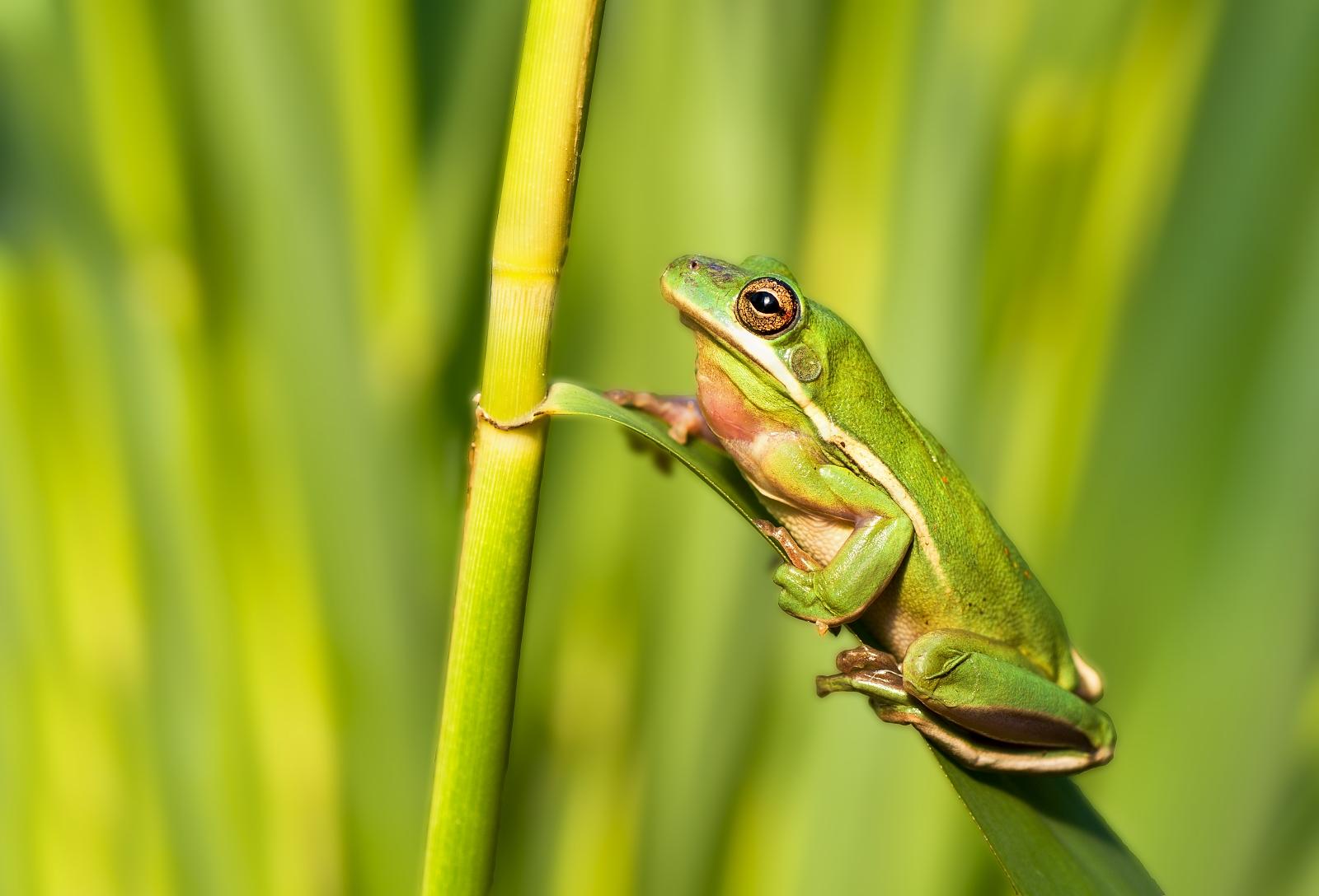 European tree frog...