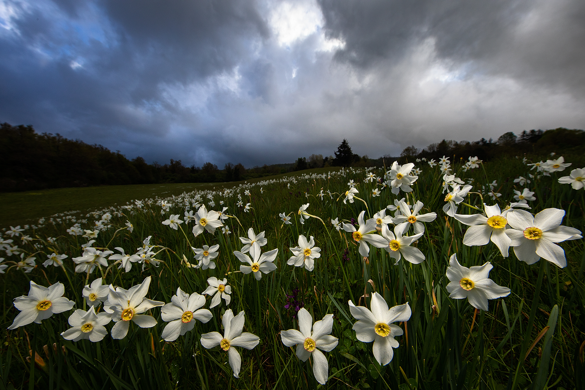 Narcissus Italian Rhapsody...