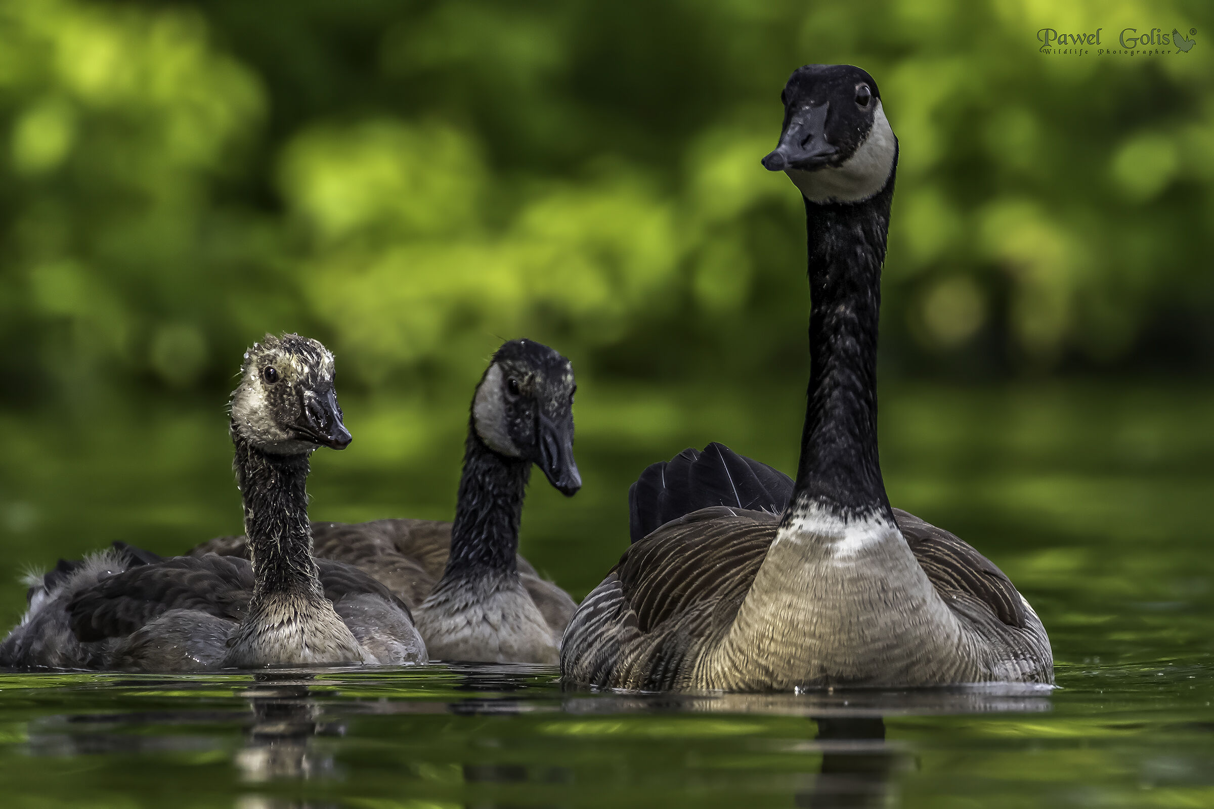 Canada goose (Branta canadensis)...