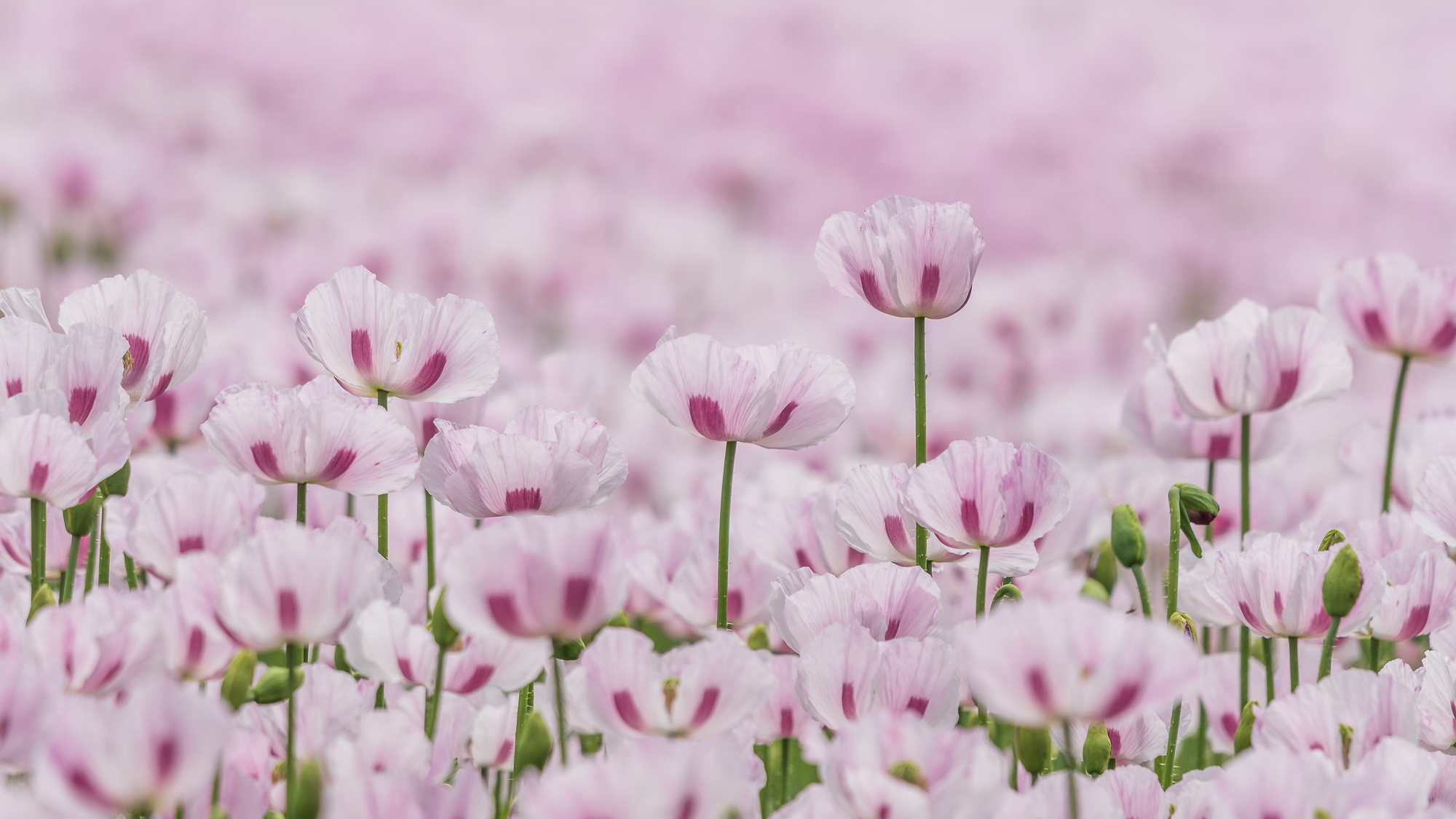 Sea of Pink Poppies...