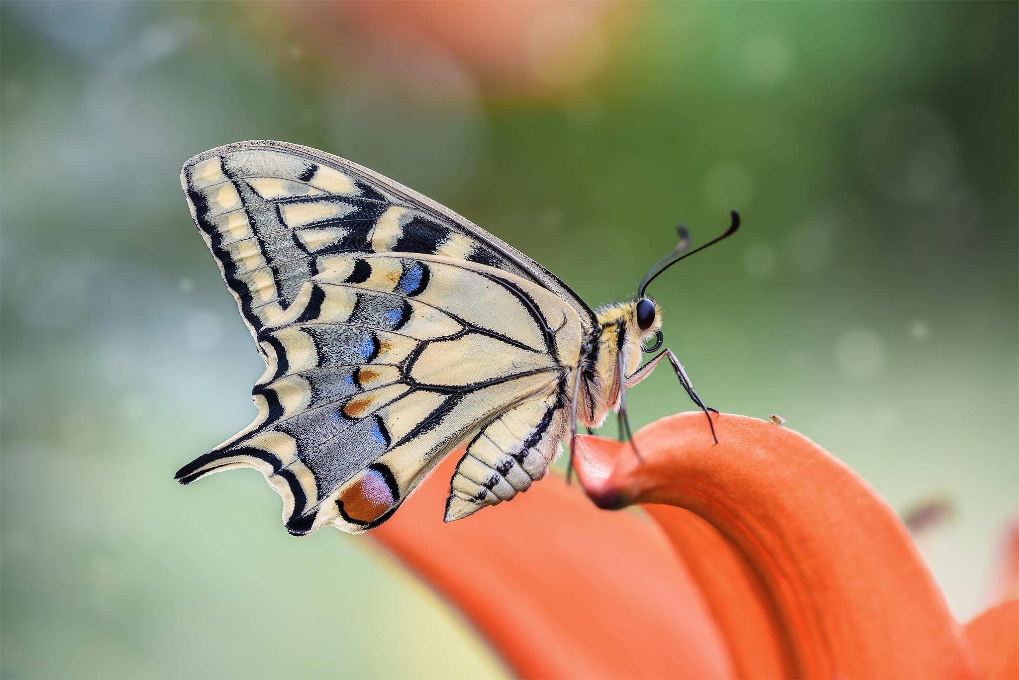 Papilio machaon...