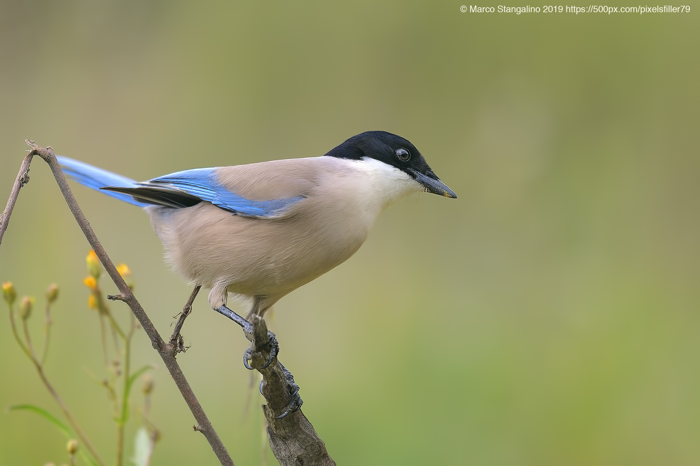 Blue Magpie......