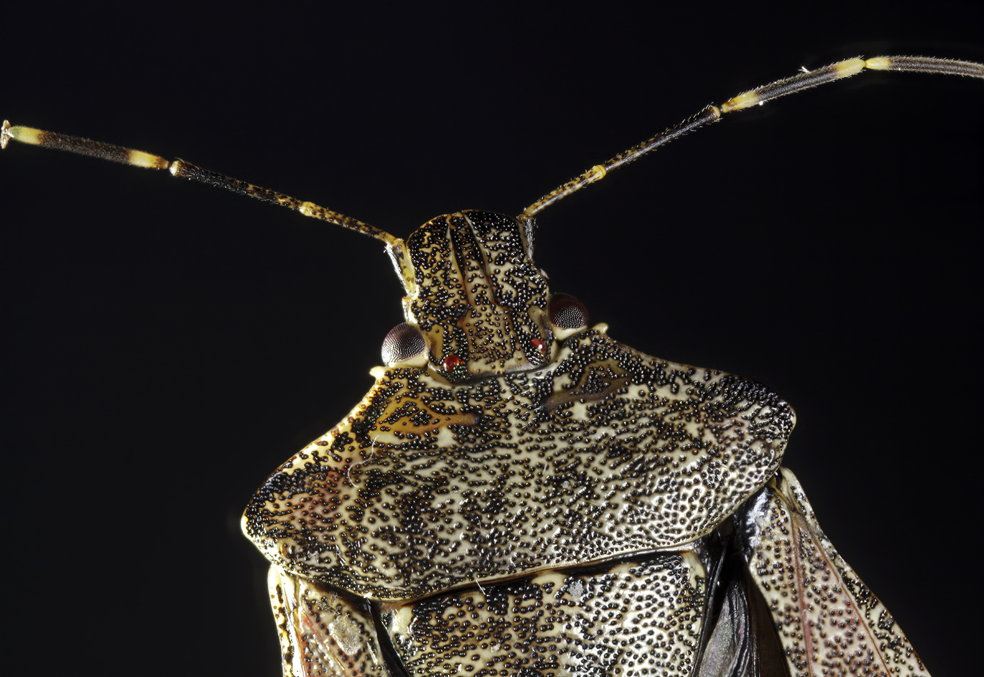 Marmorated Brown Stink Bug...