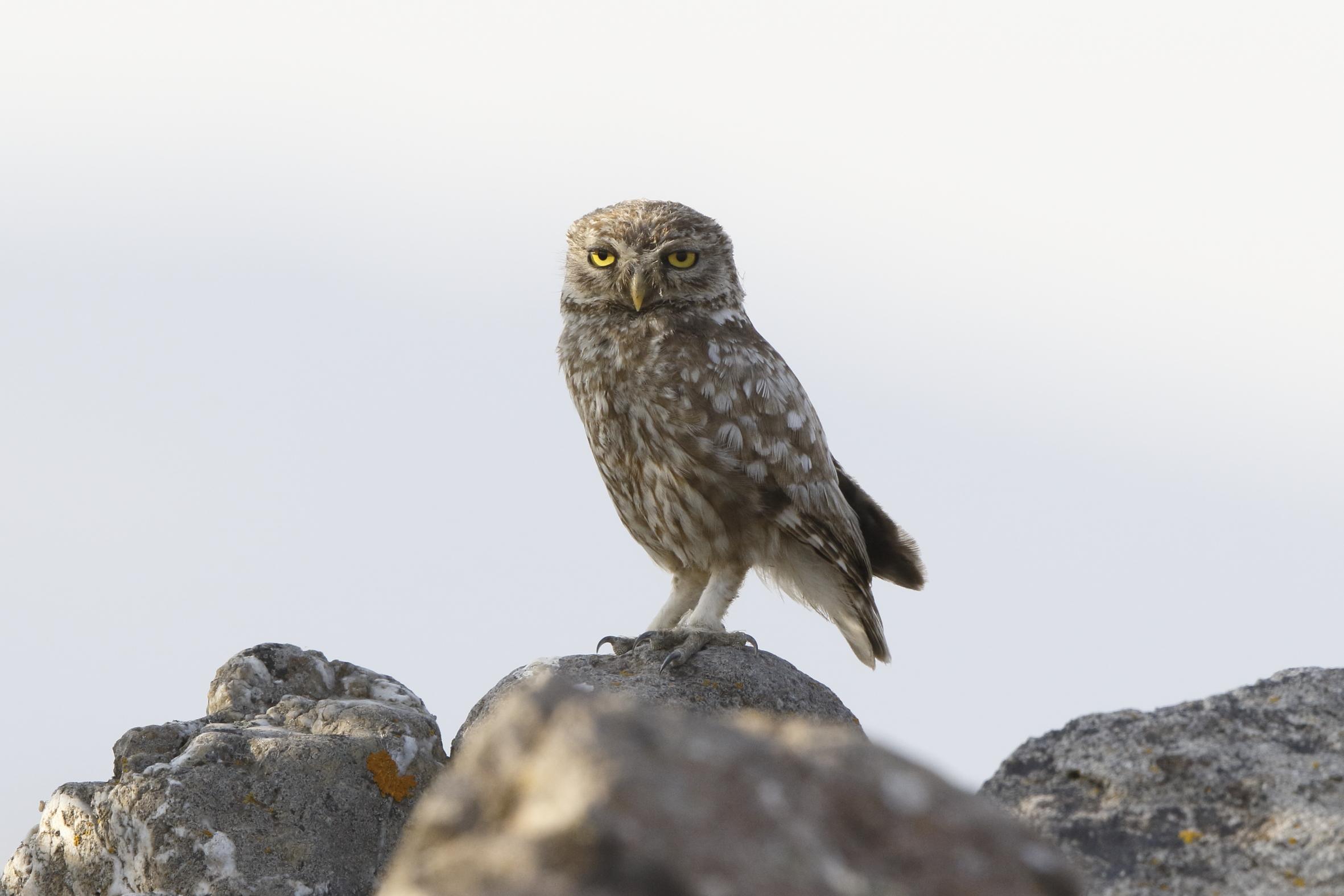 Steppe Owl...