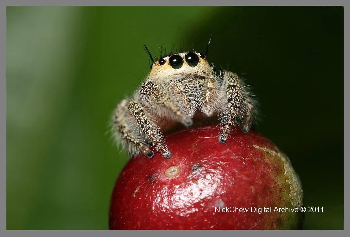 Jumping spider...