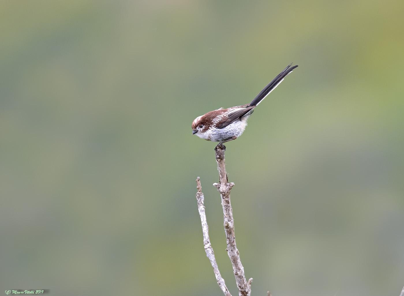 Codibugnol (Aegithalos caudatus)...