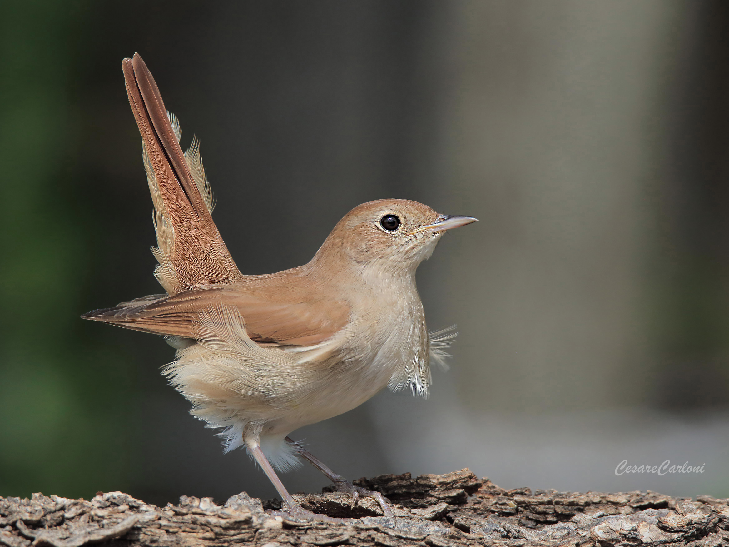 nightingale (lusitle megarhynchos)...
