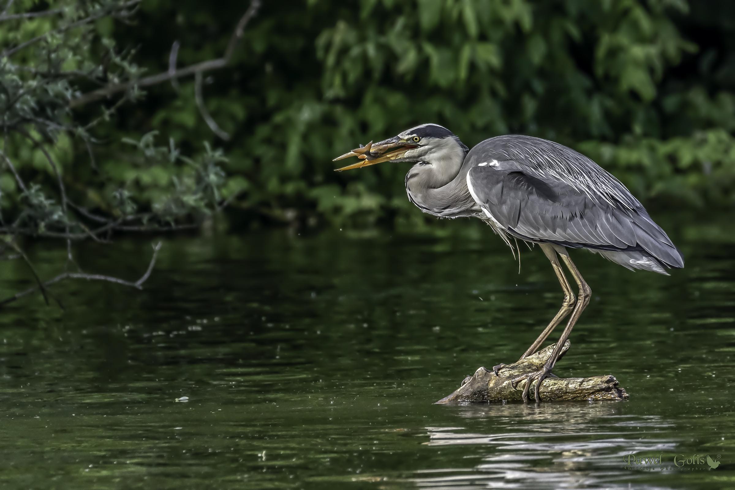 Grey heron (Ardea cinerea)...