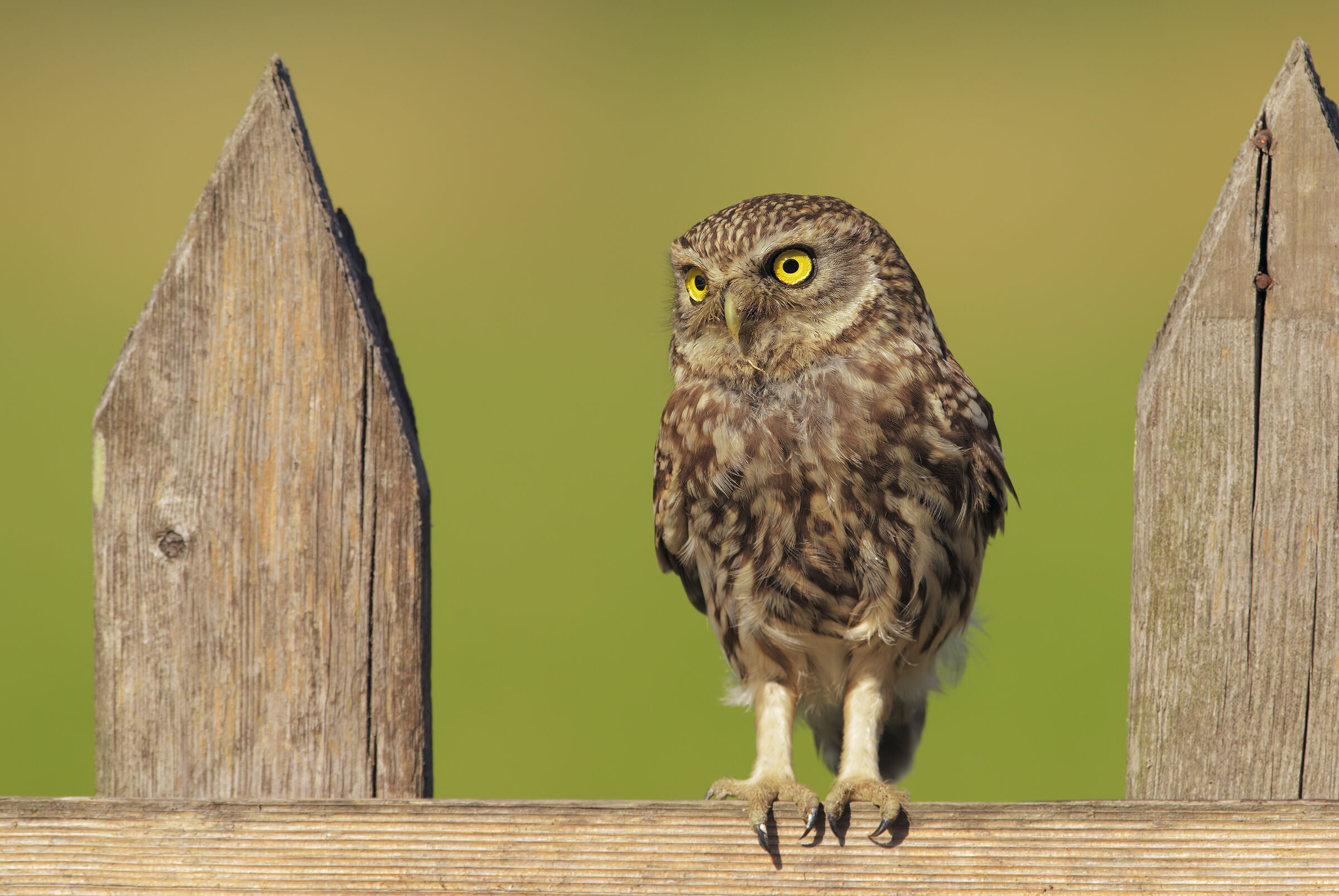 The Fence and the Owl 2.0...