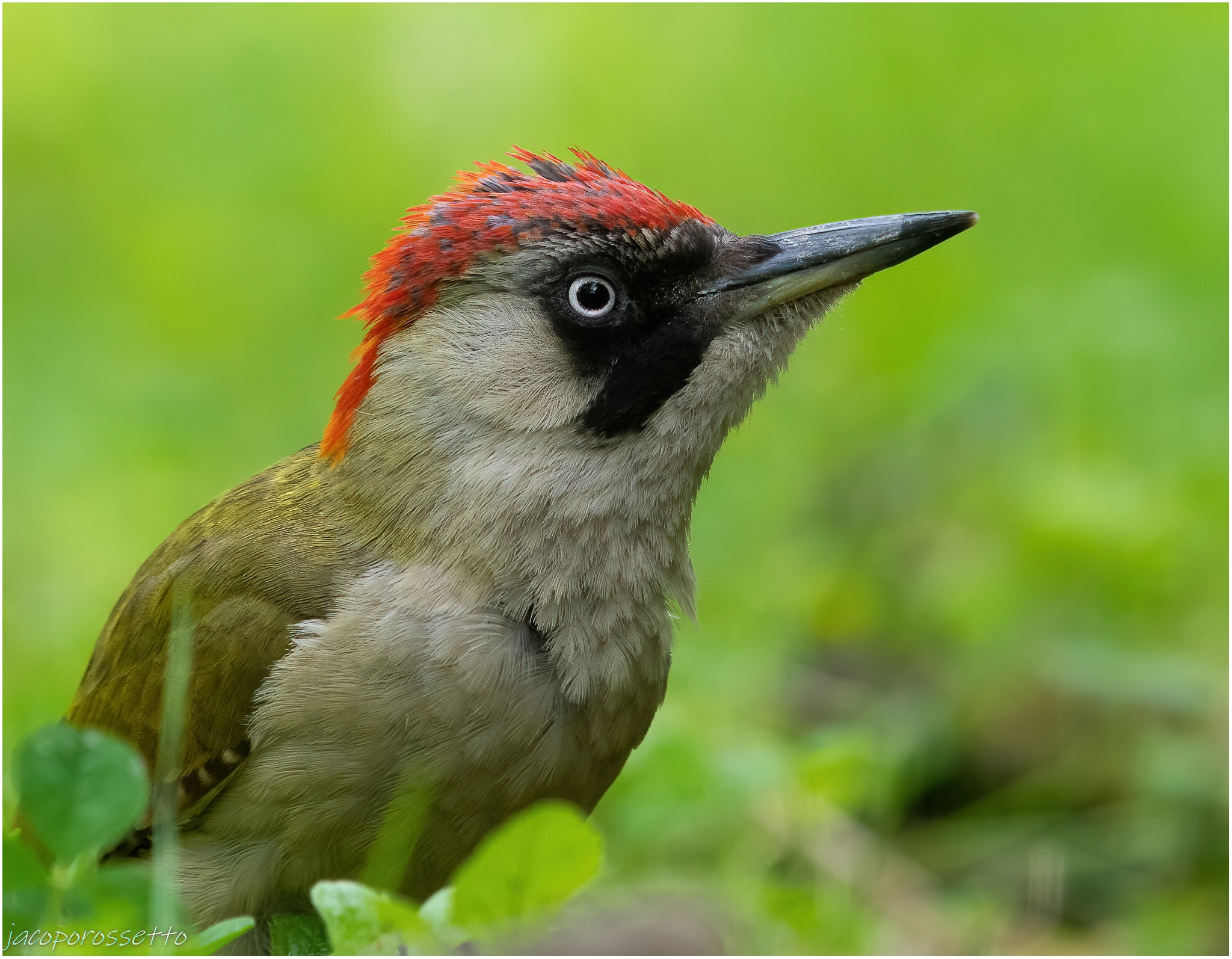Green woodpecker ...