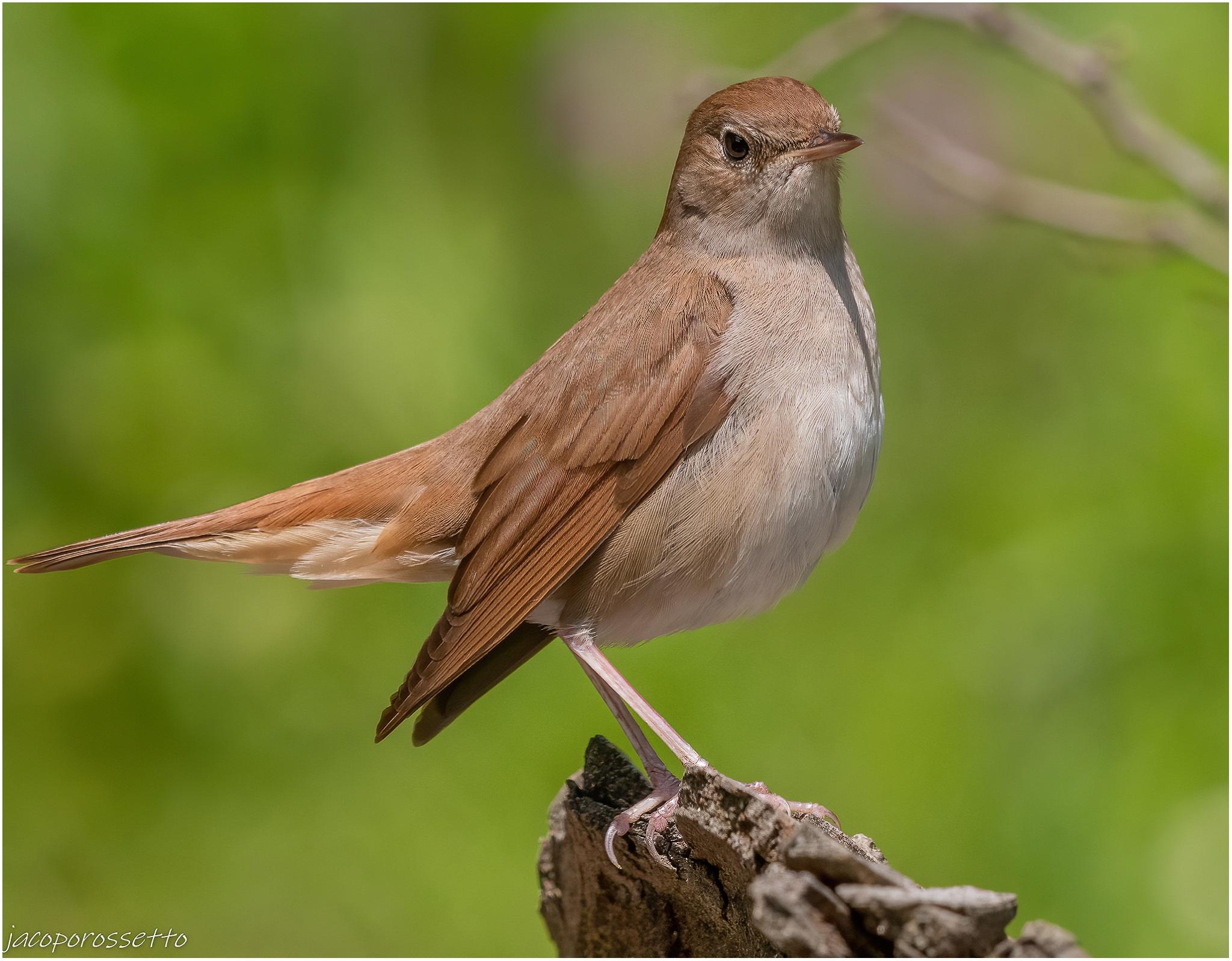 Nightingale ...