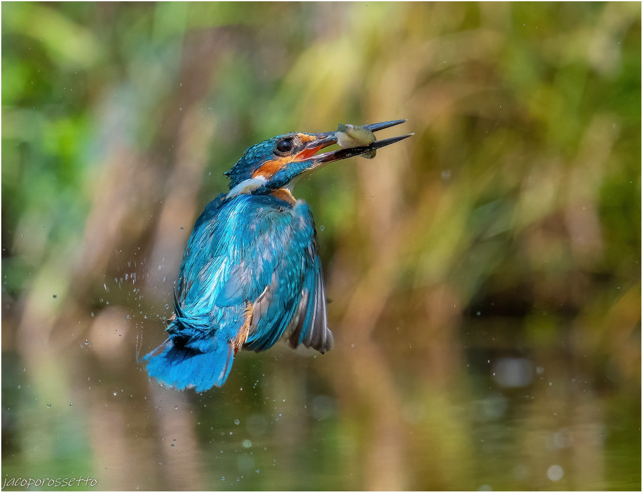 Kingfisher ...
