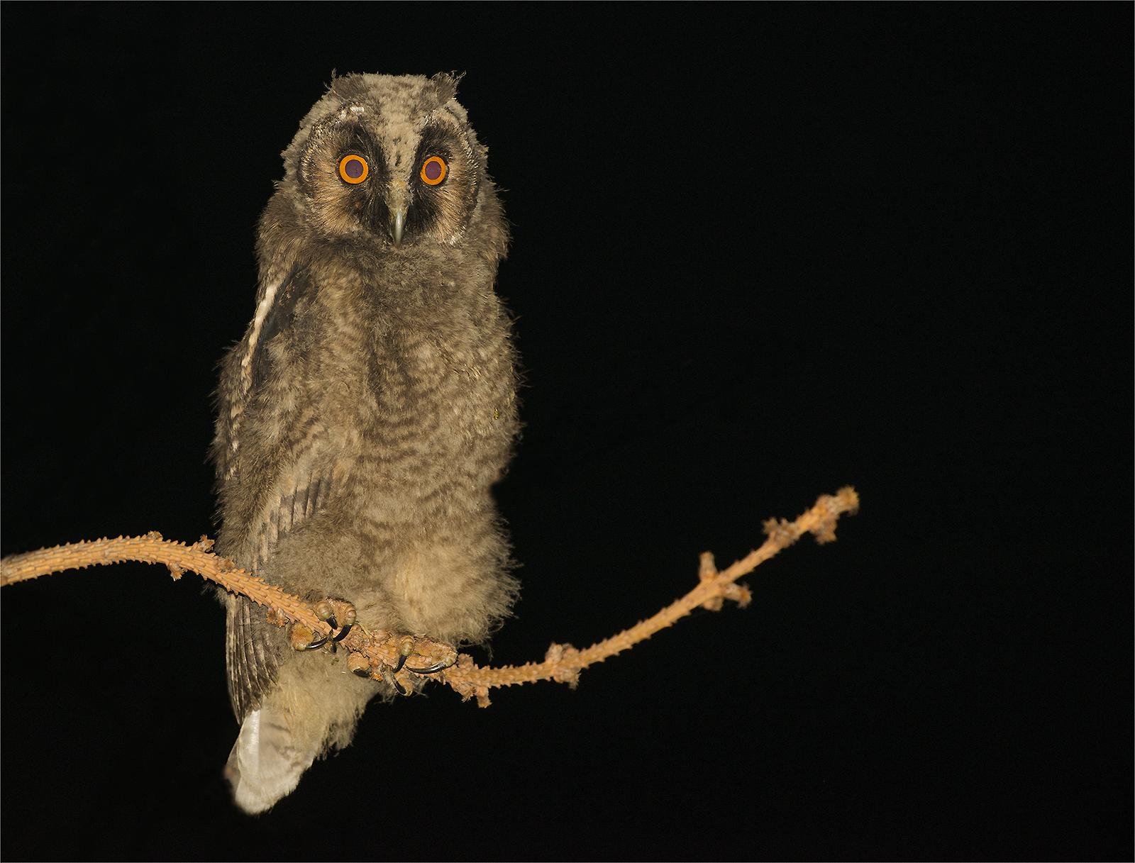 Common Owl Puppy...