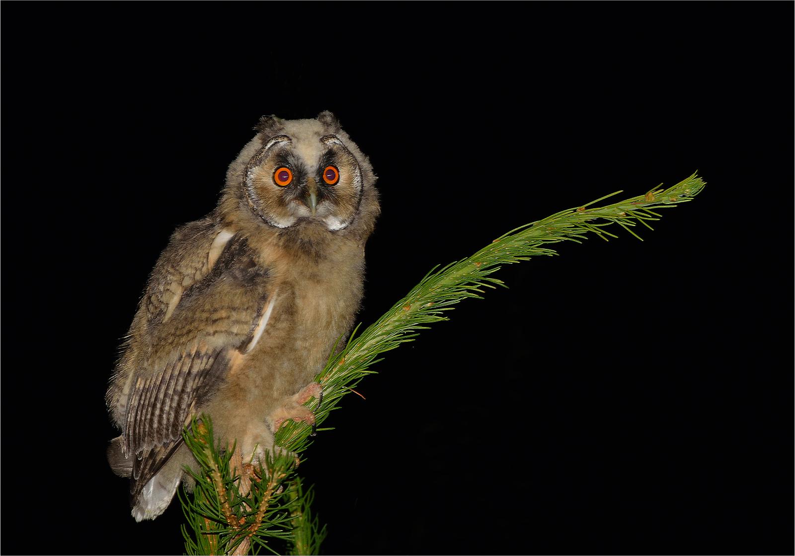 Common Owl Puppy -...
