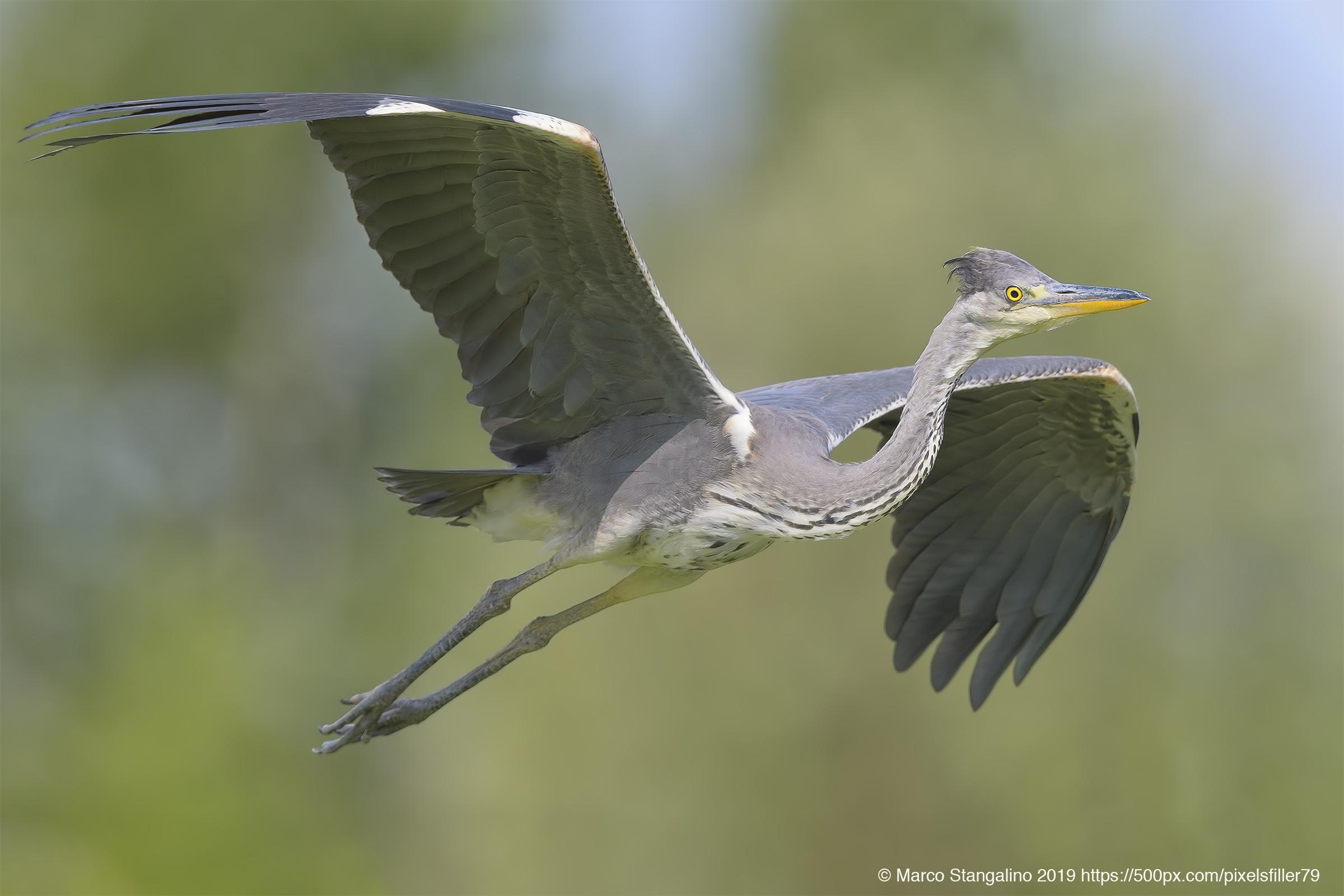Flight Heron Flight......