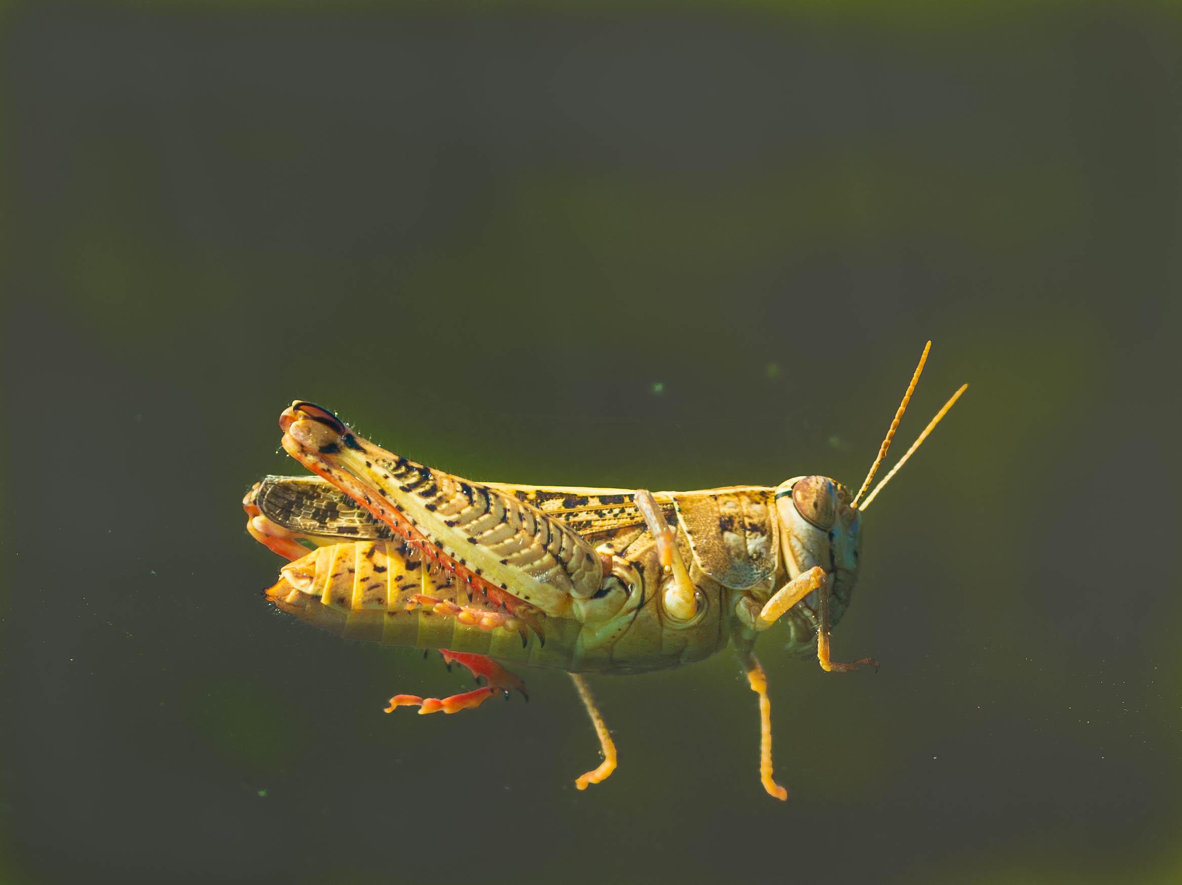 Chorthippus parallelus (female)...