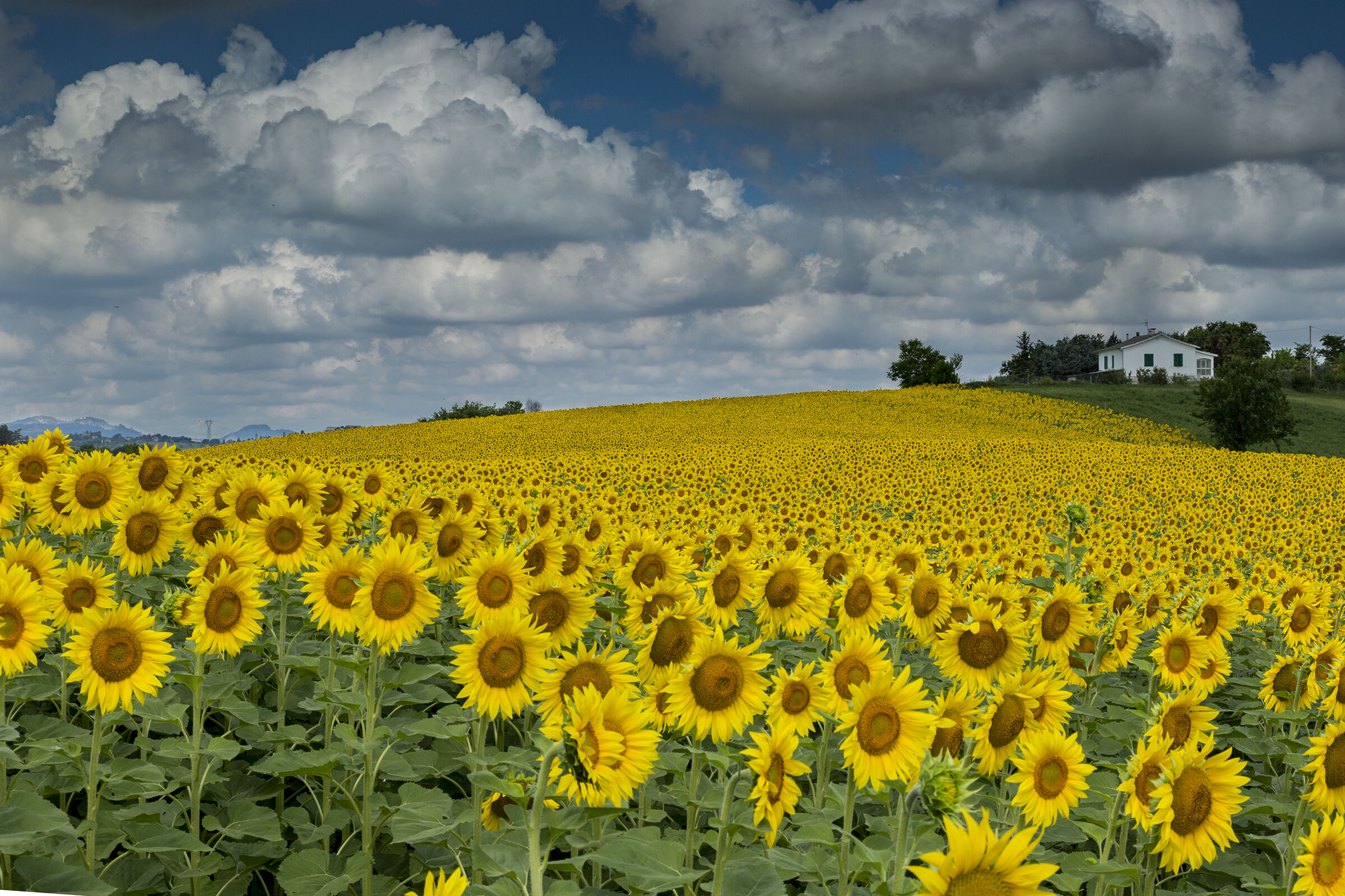 Sunflowers...