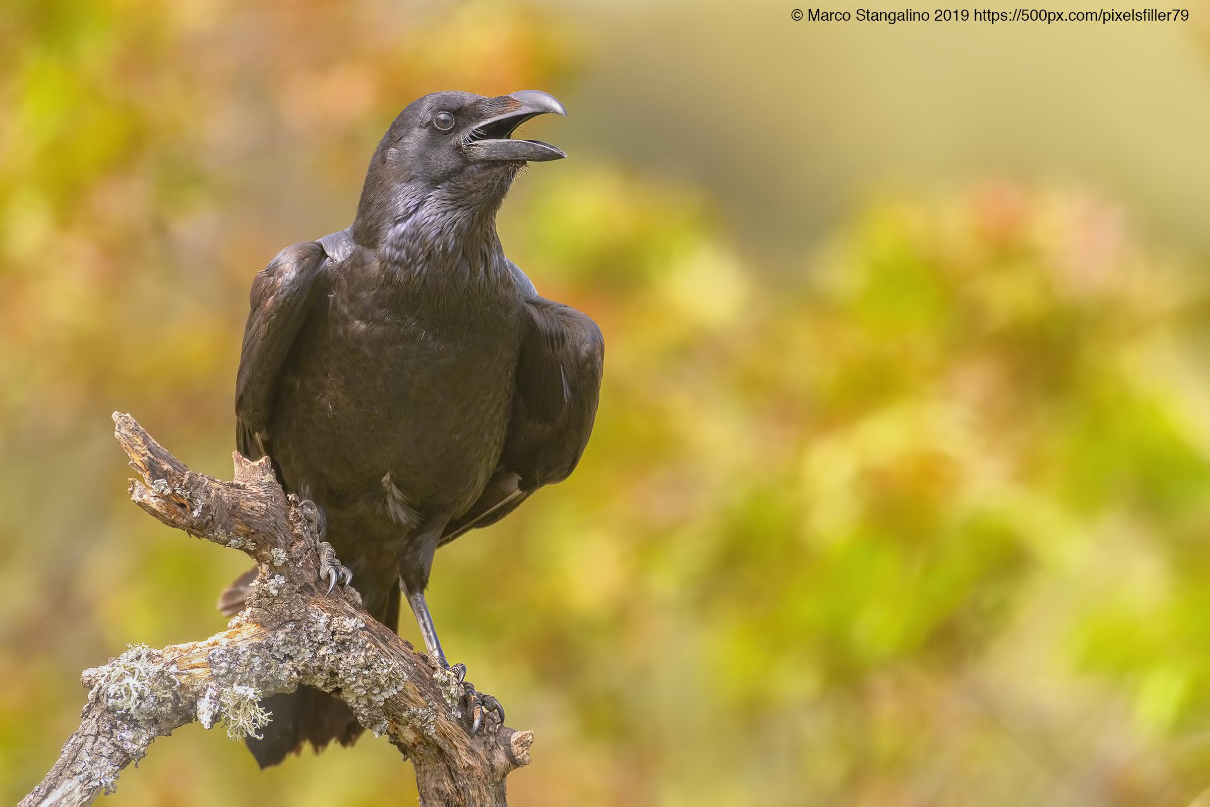 Shouting Crow...