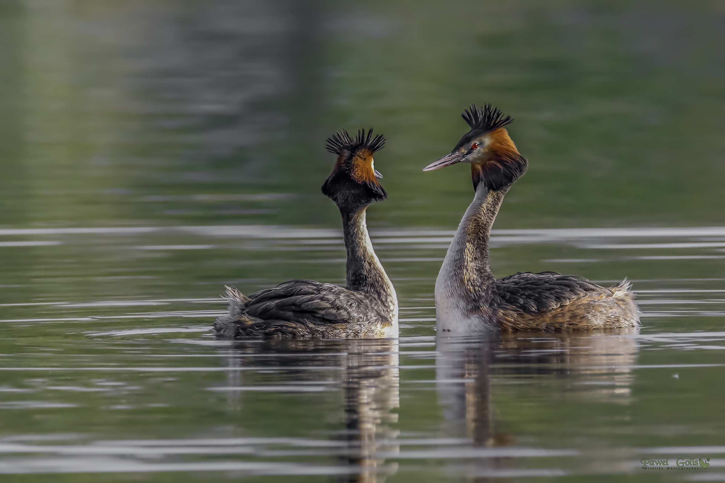 Great crested grebe (Podiceps cristatus)...