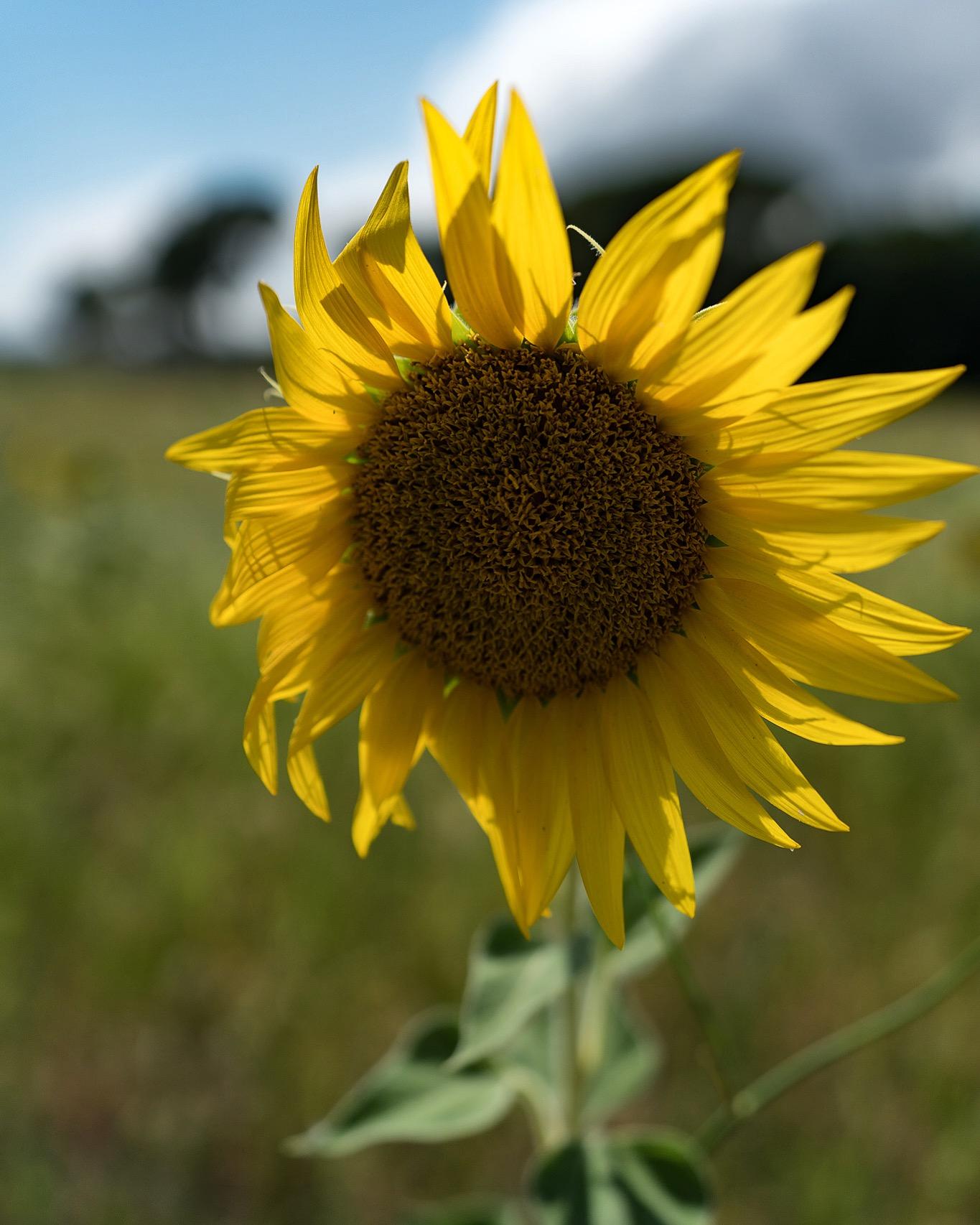 Sunflower, New...