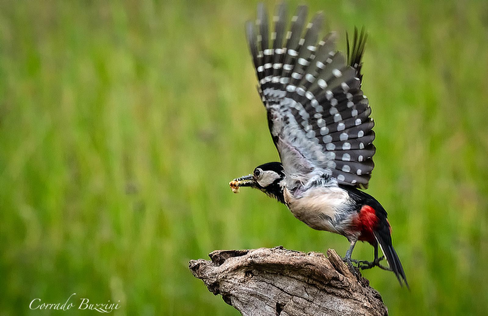 Red woodpecker in flight...