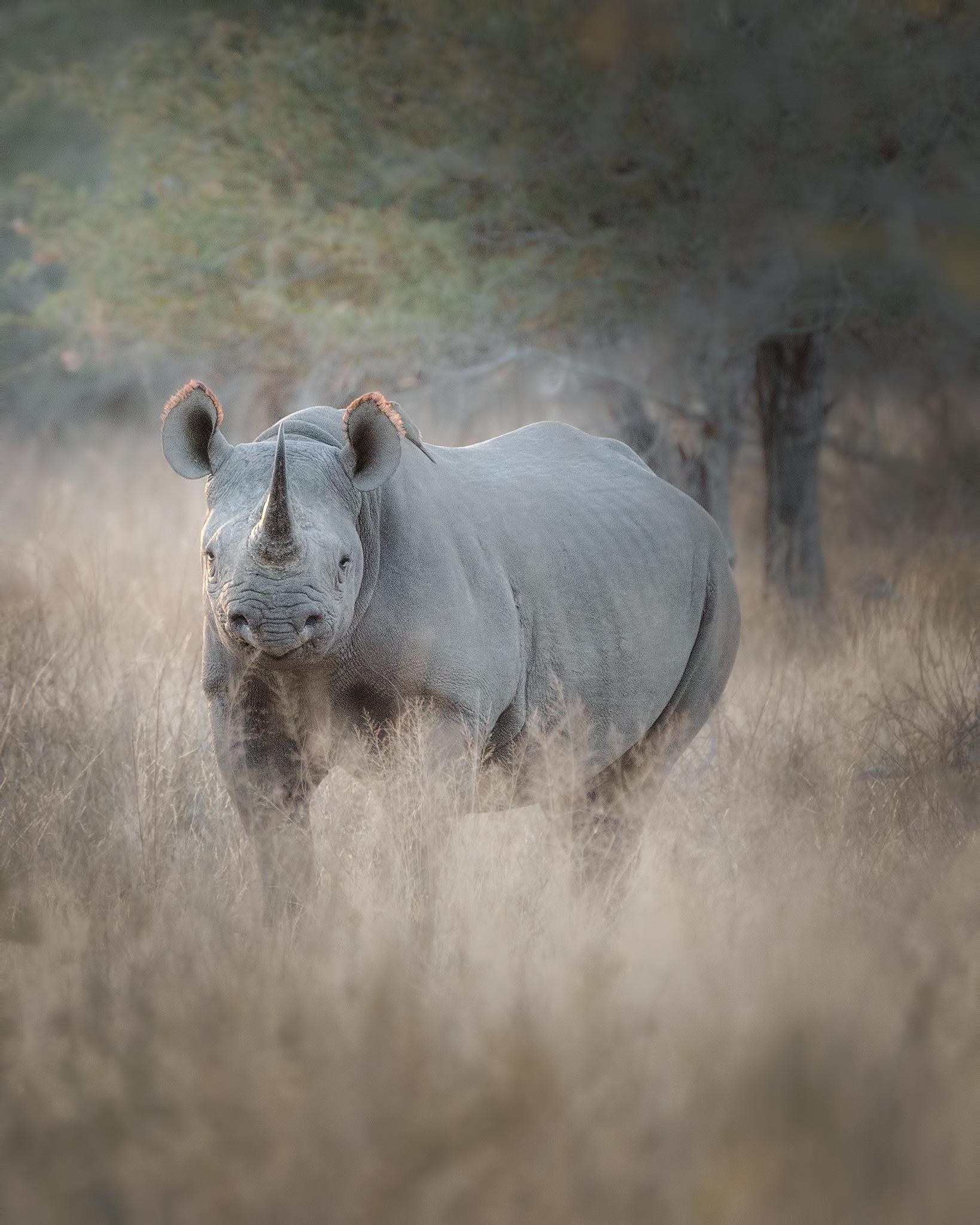 The Black Rhino...