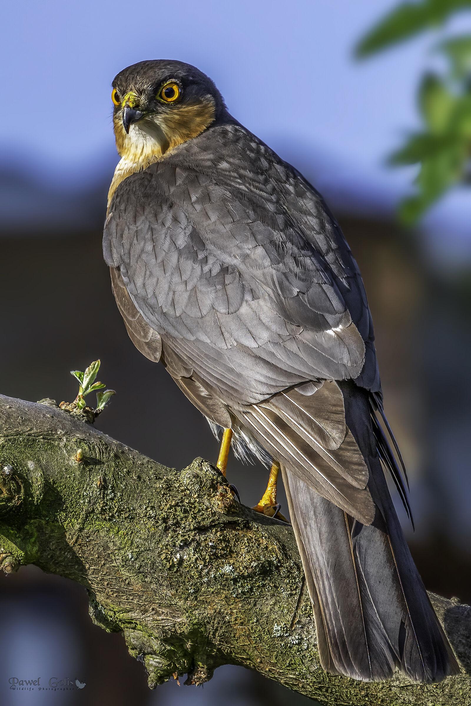 Eurasian sparrowhawk (Accipiter nisus)...
