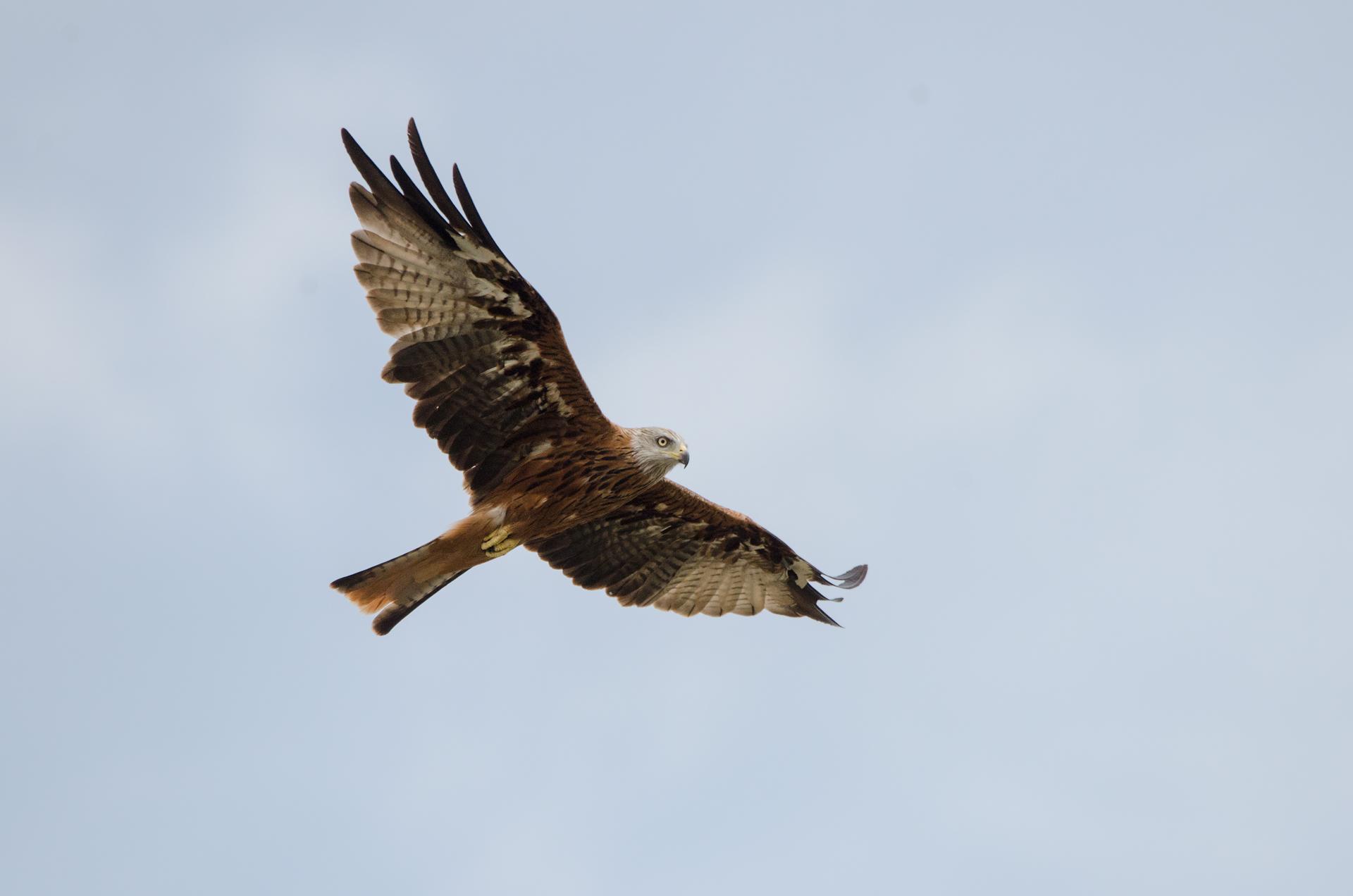 Royal kite ...