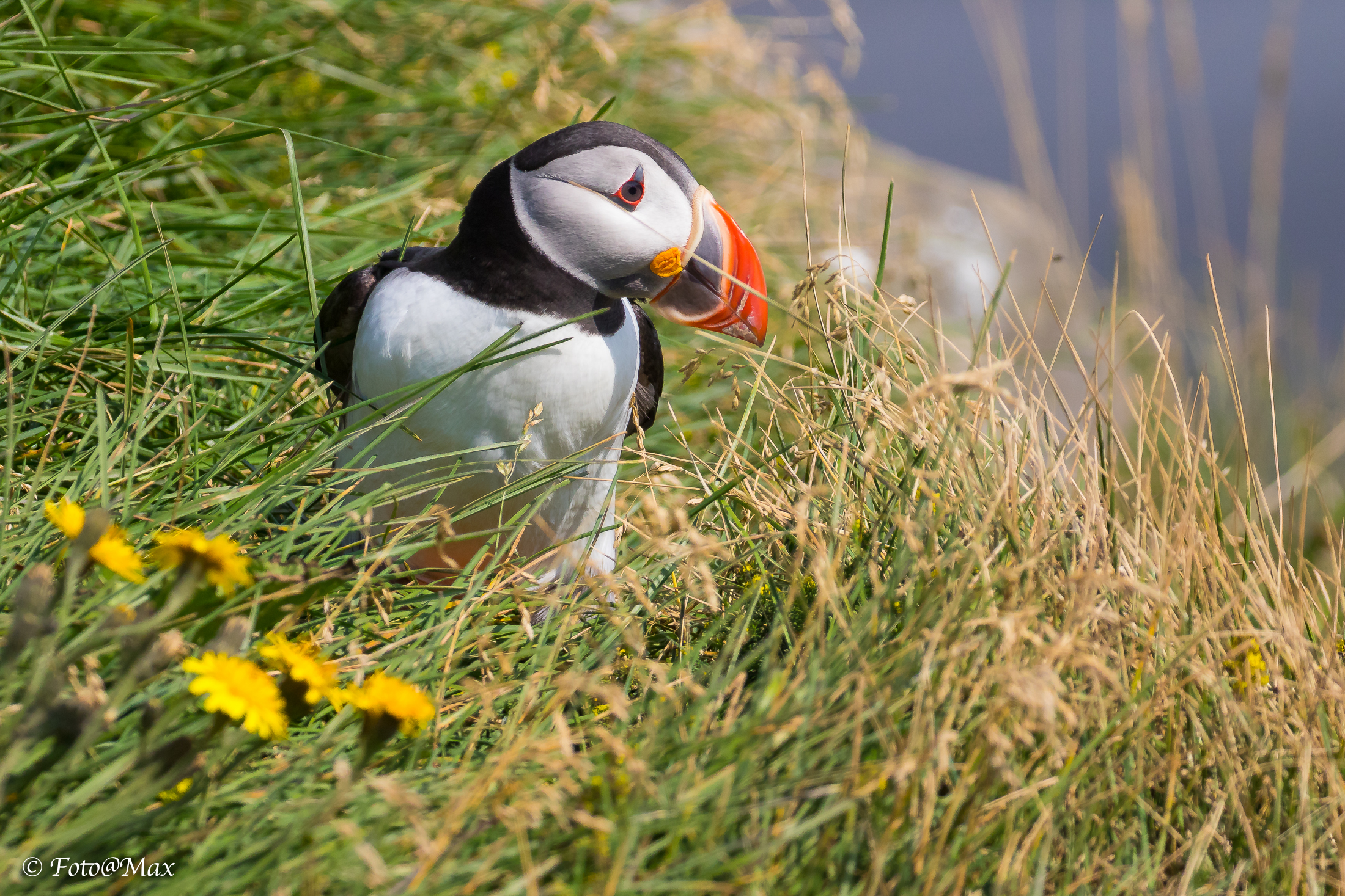 The Adorable Puffin ...