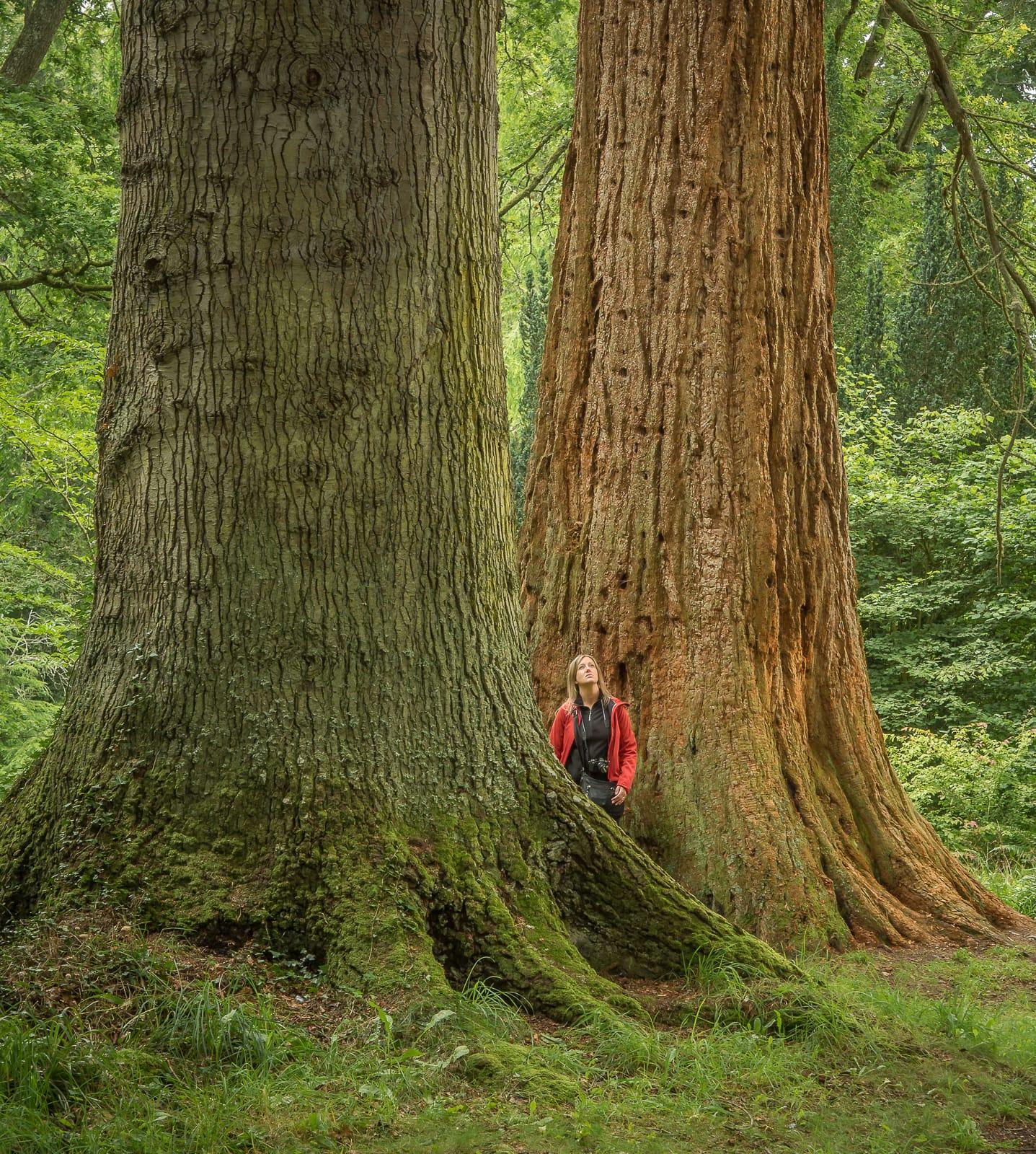 Redwoods ...