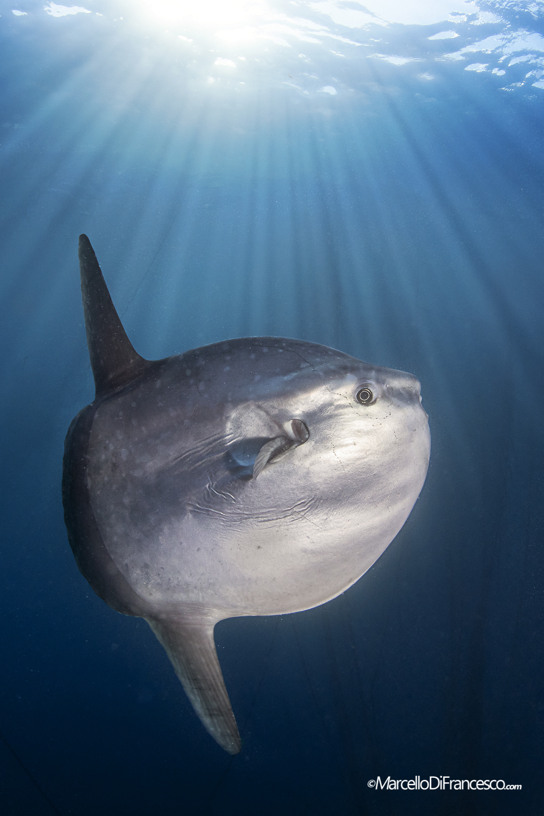Moonfish (Mola mola) - Ligurian Sea...