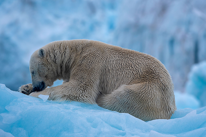 Polar Bear Resting on an Iceberg...