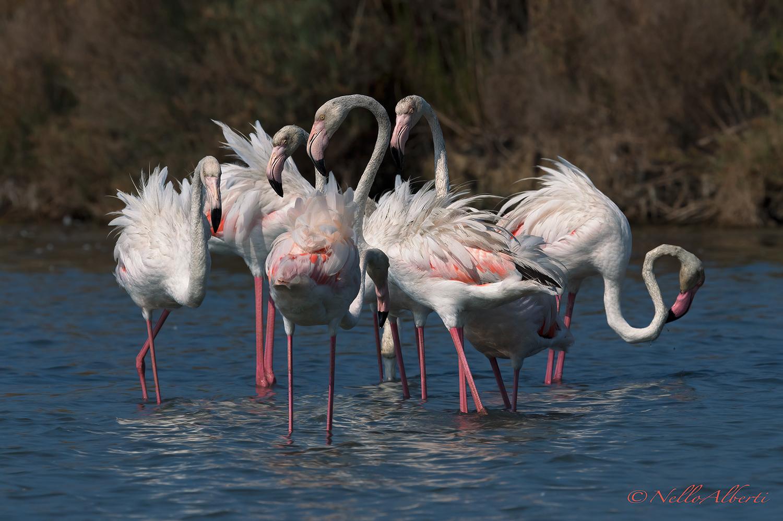 Flamingos August 2019 Orbetello...