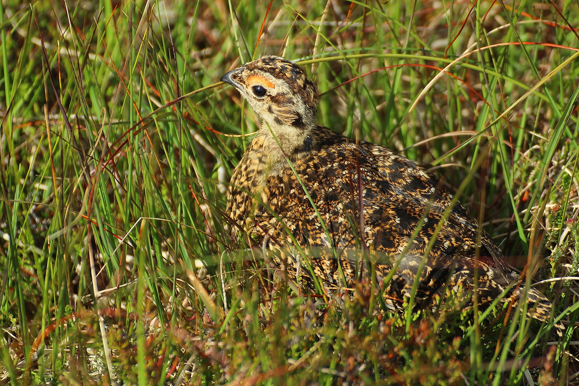 Red grouse...