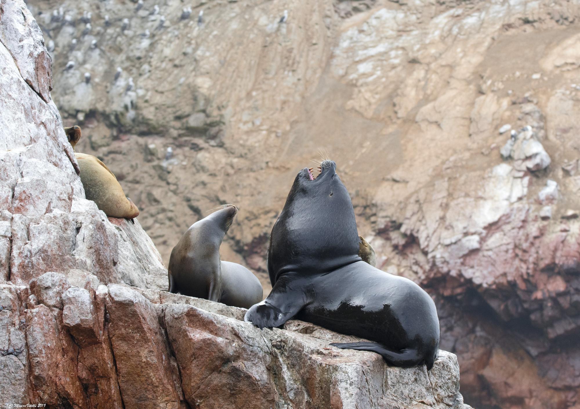 Lions Marine Islands Ballestas Peru...