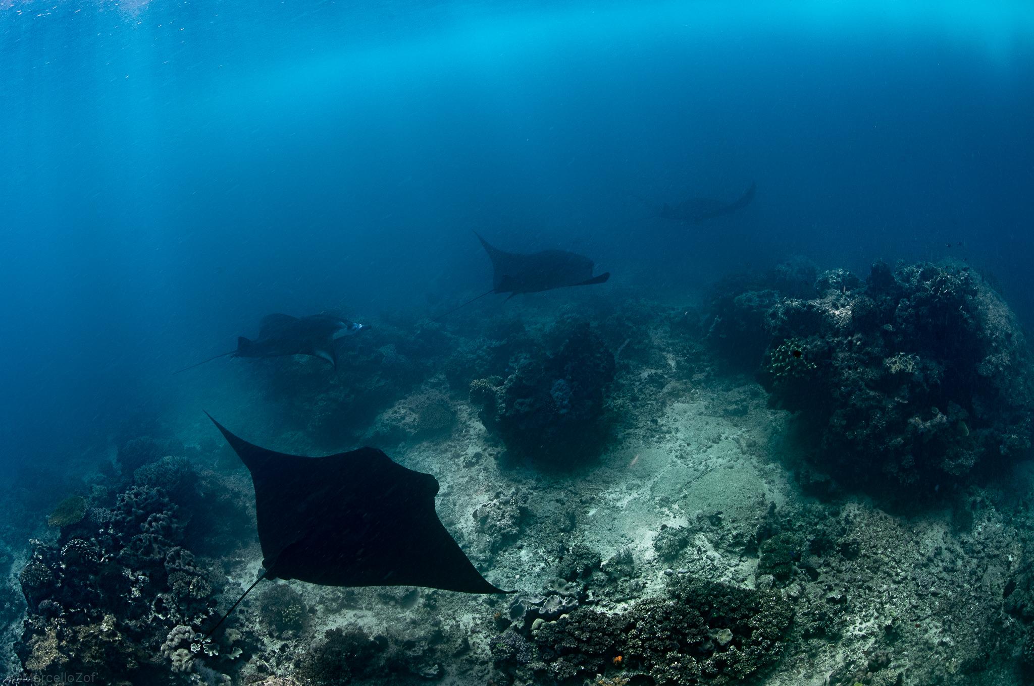 Manta in Rabi Island passage ...