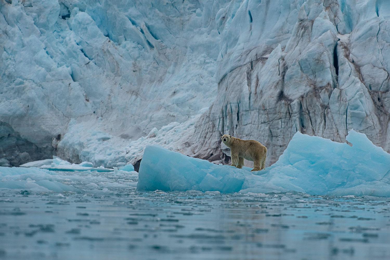 Polar Bear in the Ice...