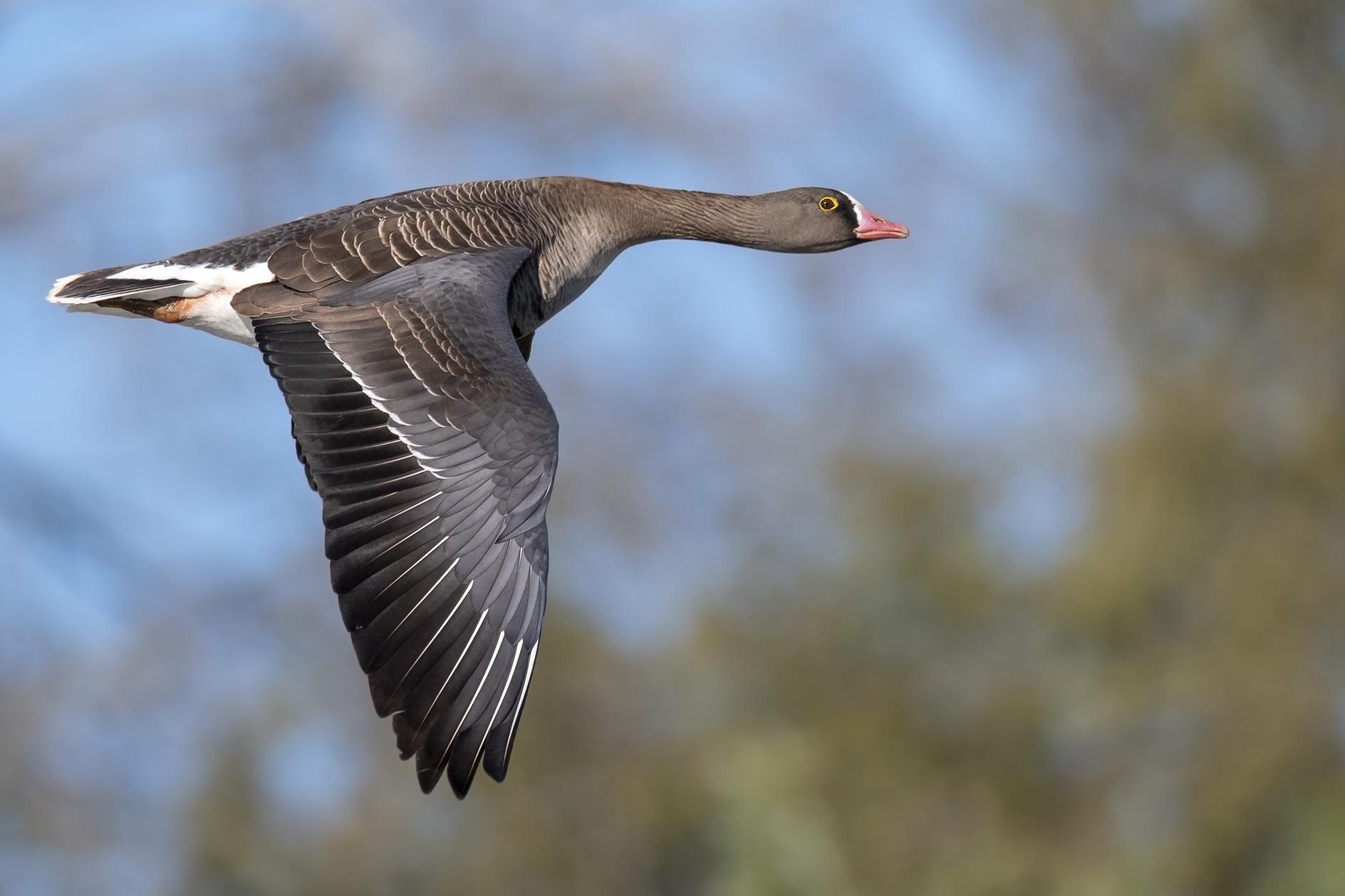 minor lombardy goose...