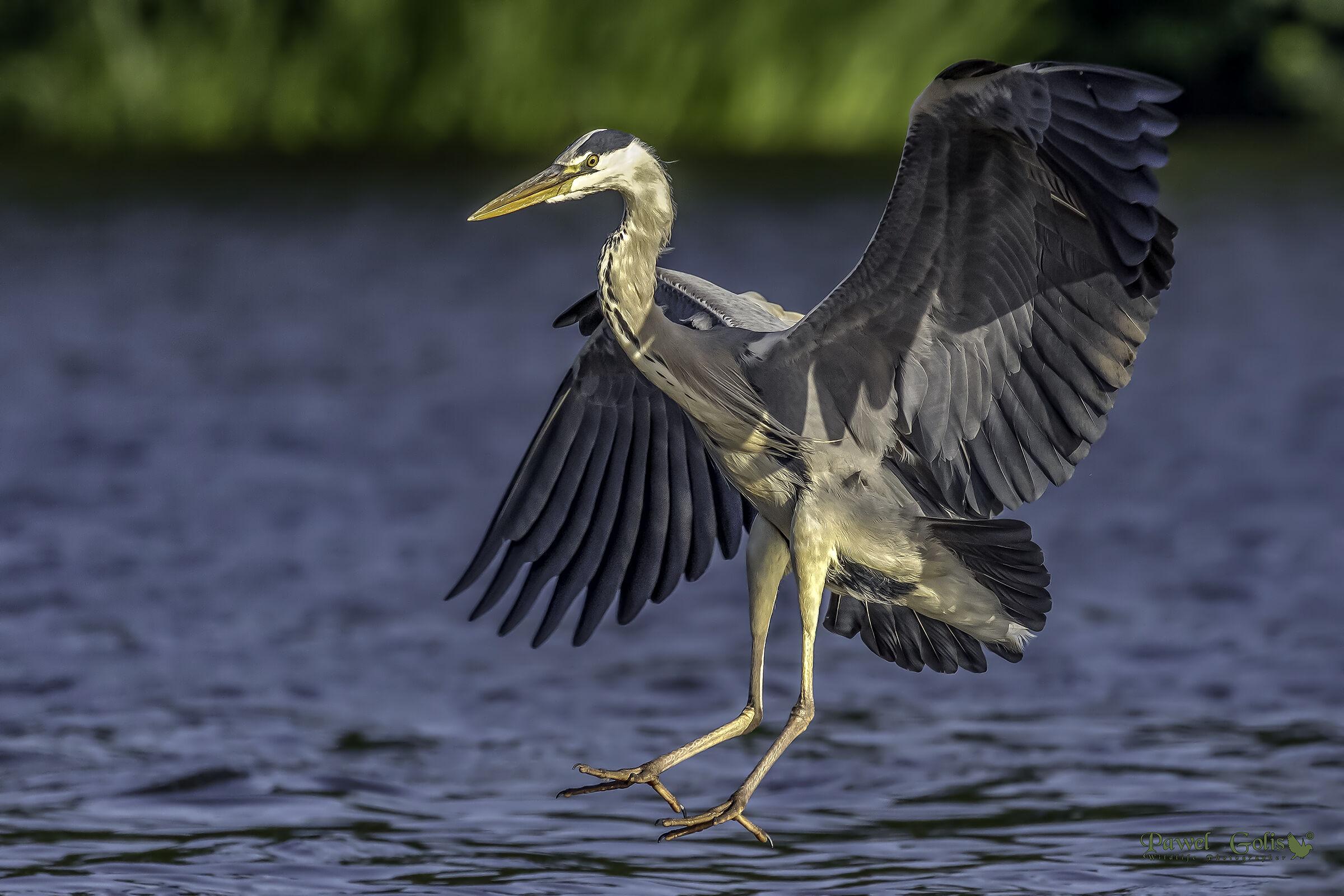 Grey heron (Ardea cinerea) landing...
