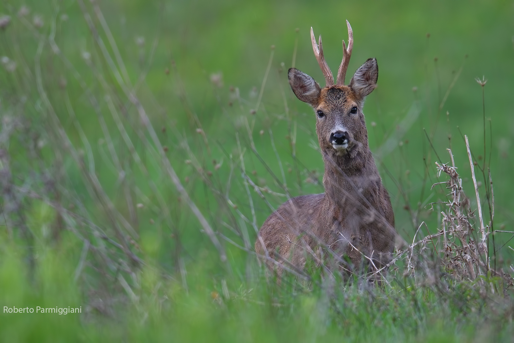Face-to-face roe deer...